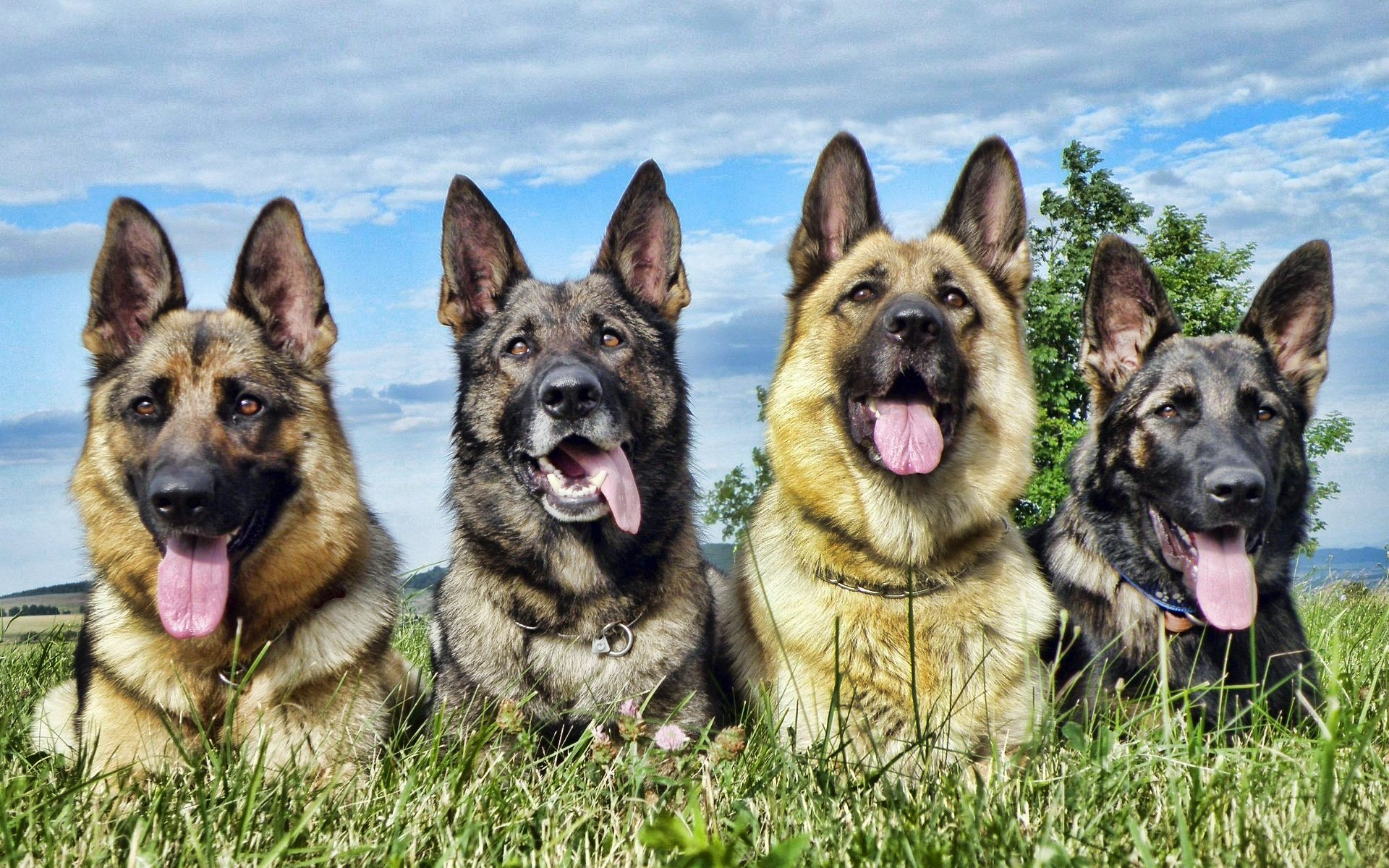 Free German Shepherd high quality wallpaper ID:111002 for hd 1920x1200 desktop