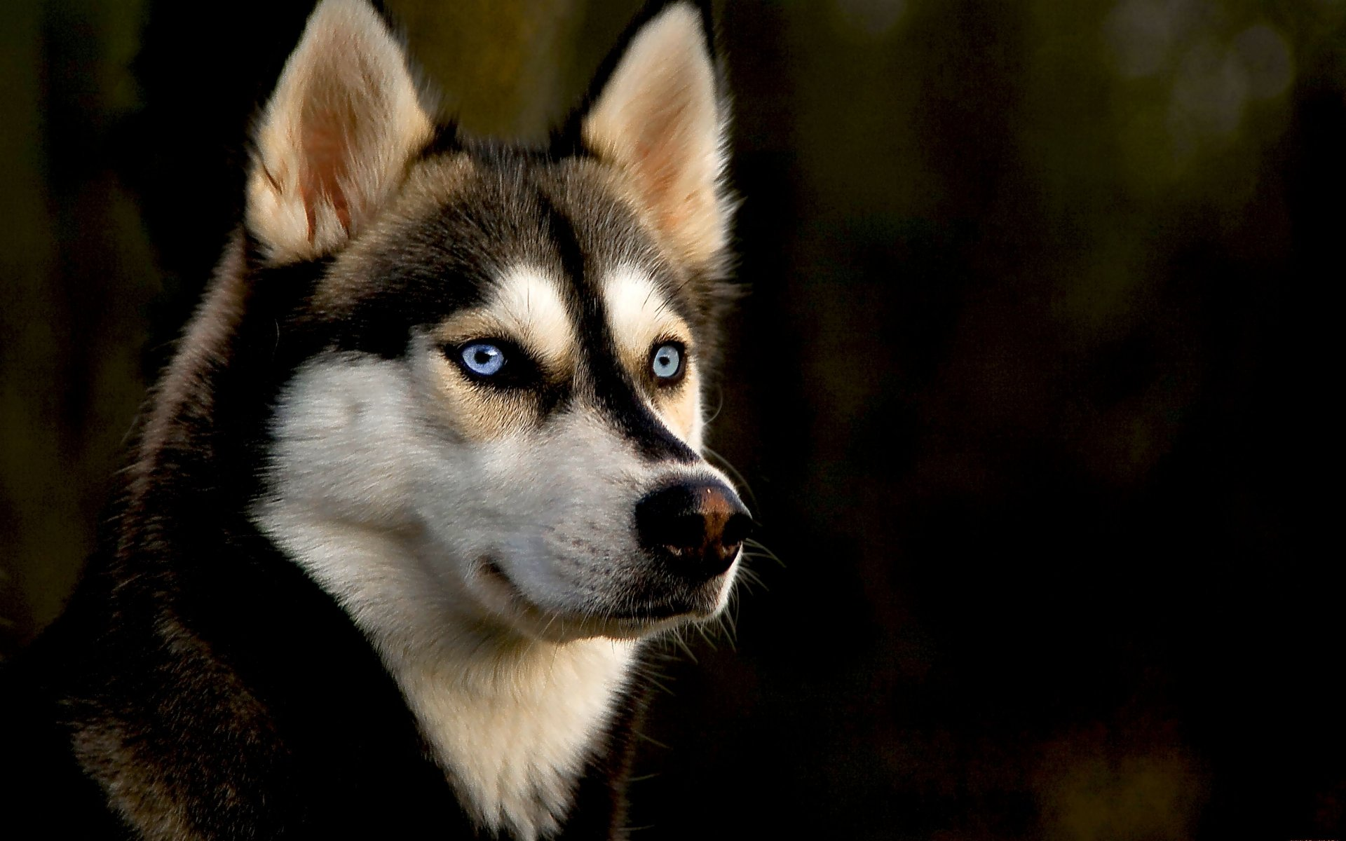 Best Husky background ID:198296 for High Resolution hd 1920x1200 PC