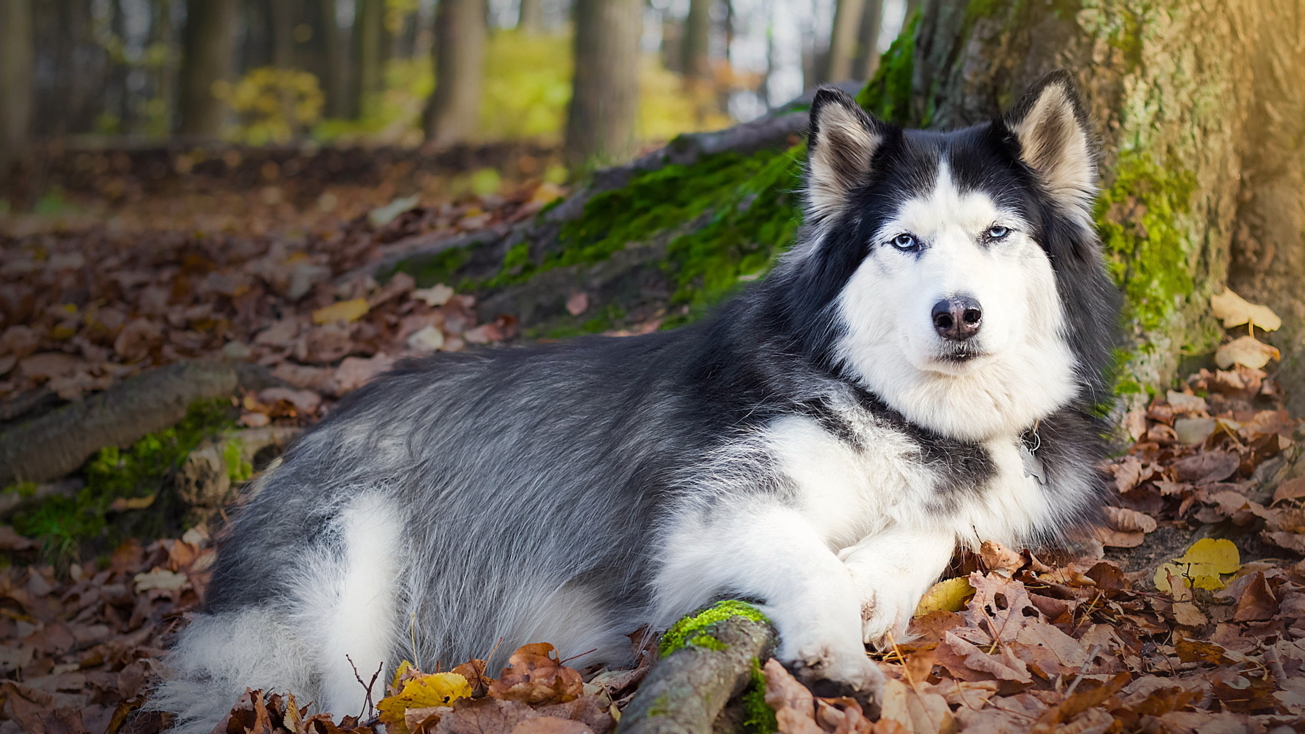 Free Husky high quality wallpaper ID:198362 for hd 2560x1440 desktop