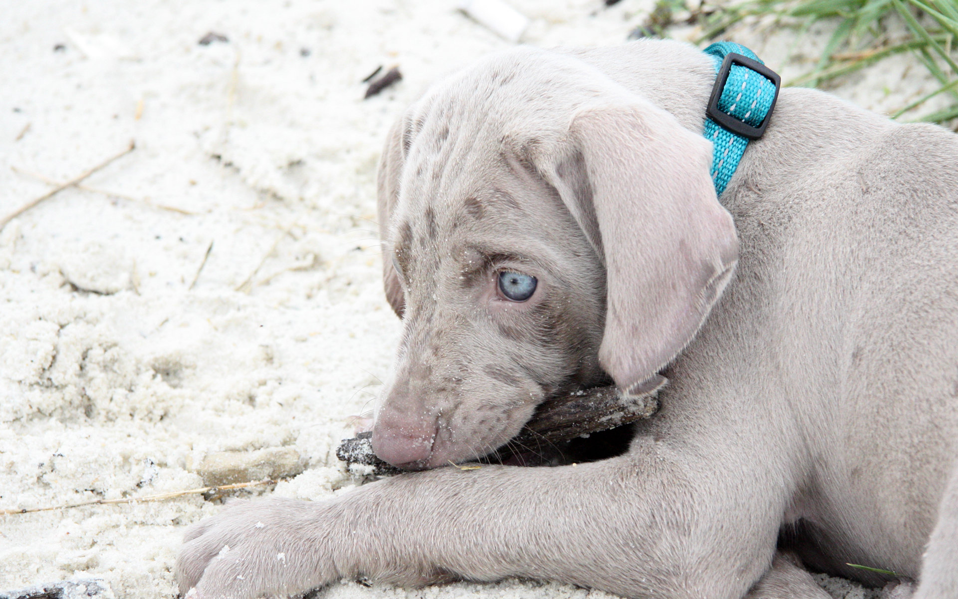 Awesome Weimaraner free wallpaper ID:9638 for hd 1920x1200 PC