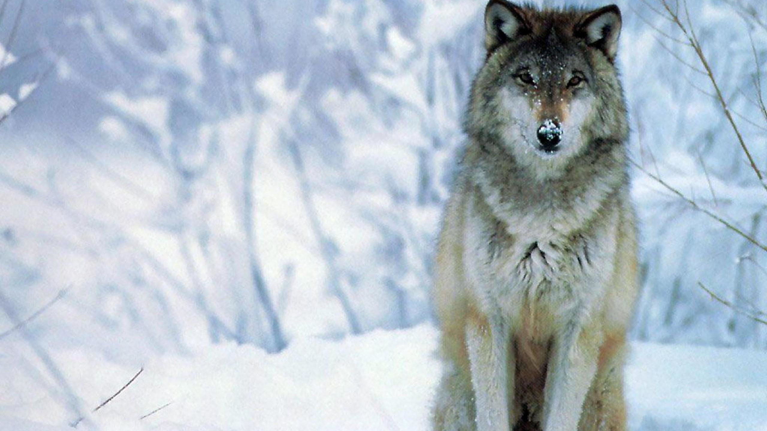 Free Wolf high quality background ID:117690 for hd 2560x1440 PC