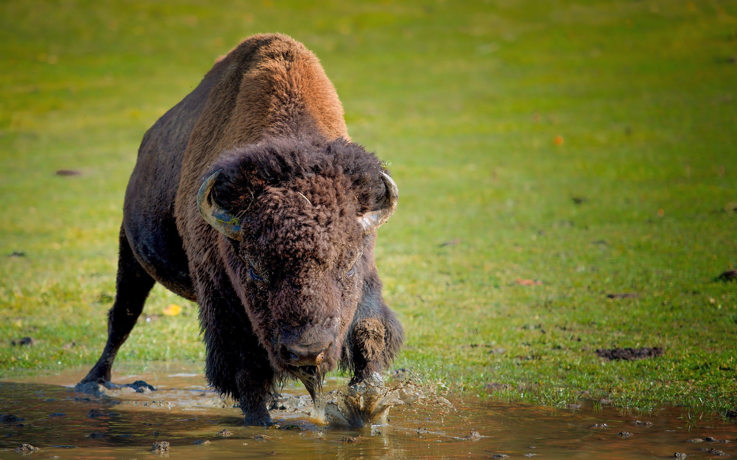 Free Bison high quality background ID:130646 for hd 2560x1600 desktop