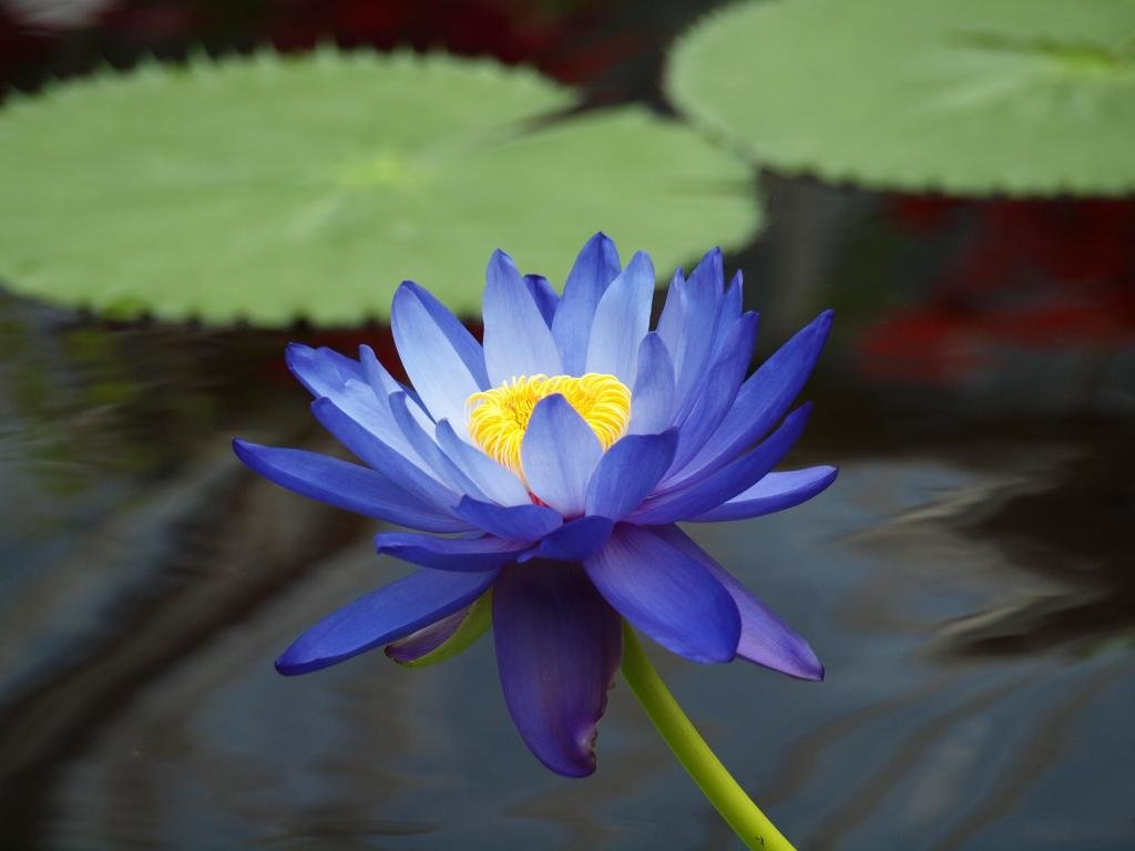 Download Hd 1024x768 Lotus Flower Desktop Wallpaper Id48425 For Free