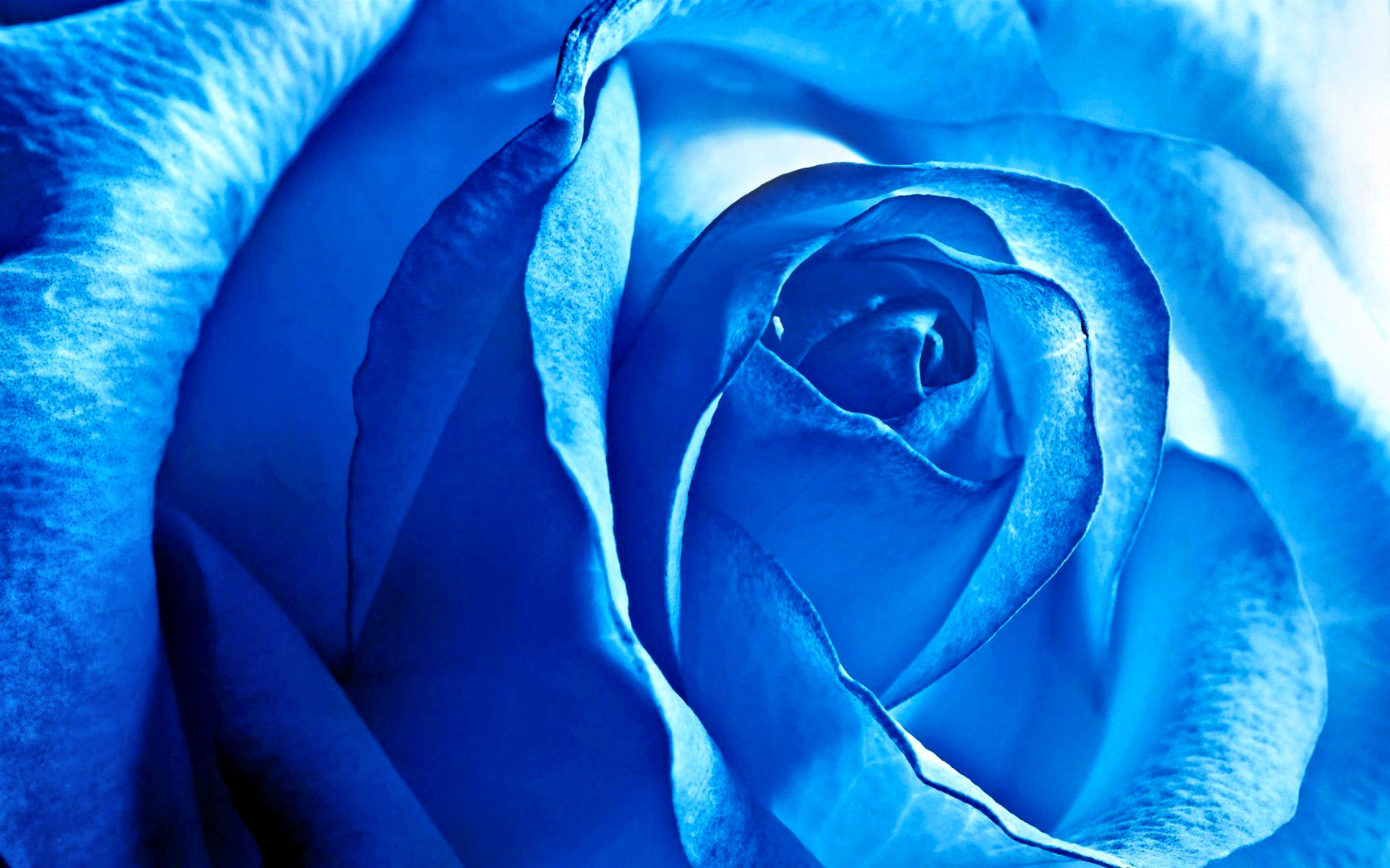 Download hd 2880x1800 Rose desktop wallpaper ID:473365 for free