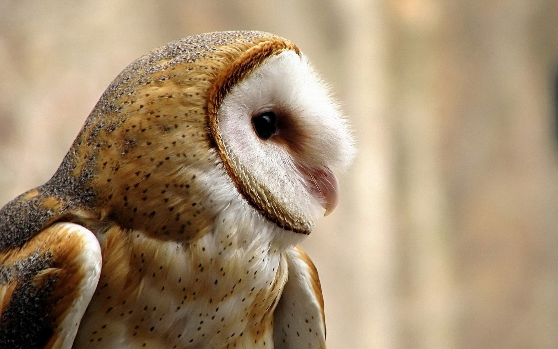 Download hd 1920x1200 Barn Owl PC wallpaper ID:81560 for free