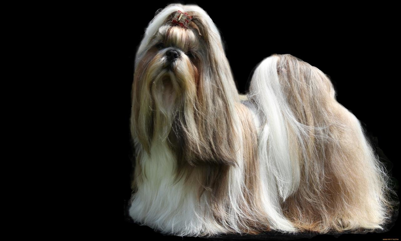 High resolution Shih Tzu hd 1280x768 wallpaper ID:232260 for desktop