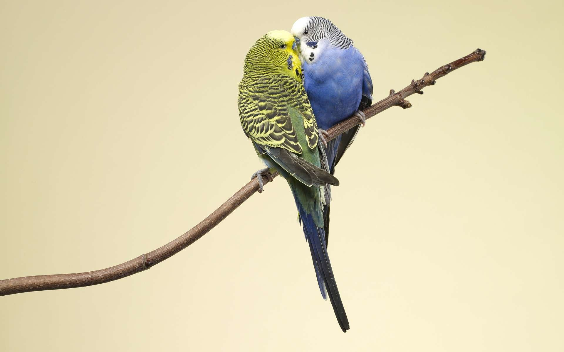 Download hd 1920x1200 Budgerigar PC background ID:32563 for free