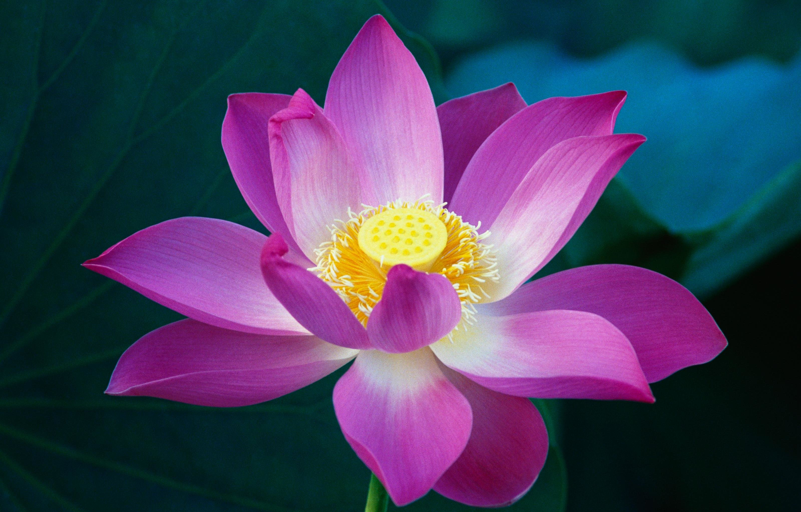 Free Download Lotus Flower Wallpaper Id48411 Hd 3200x2048 For Pc