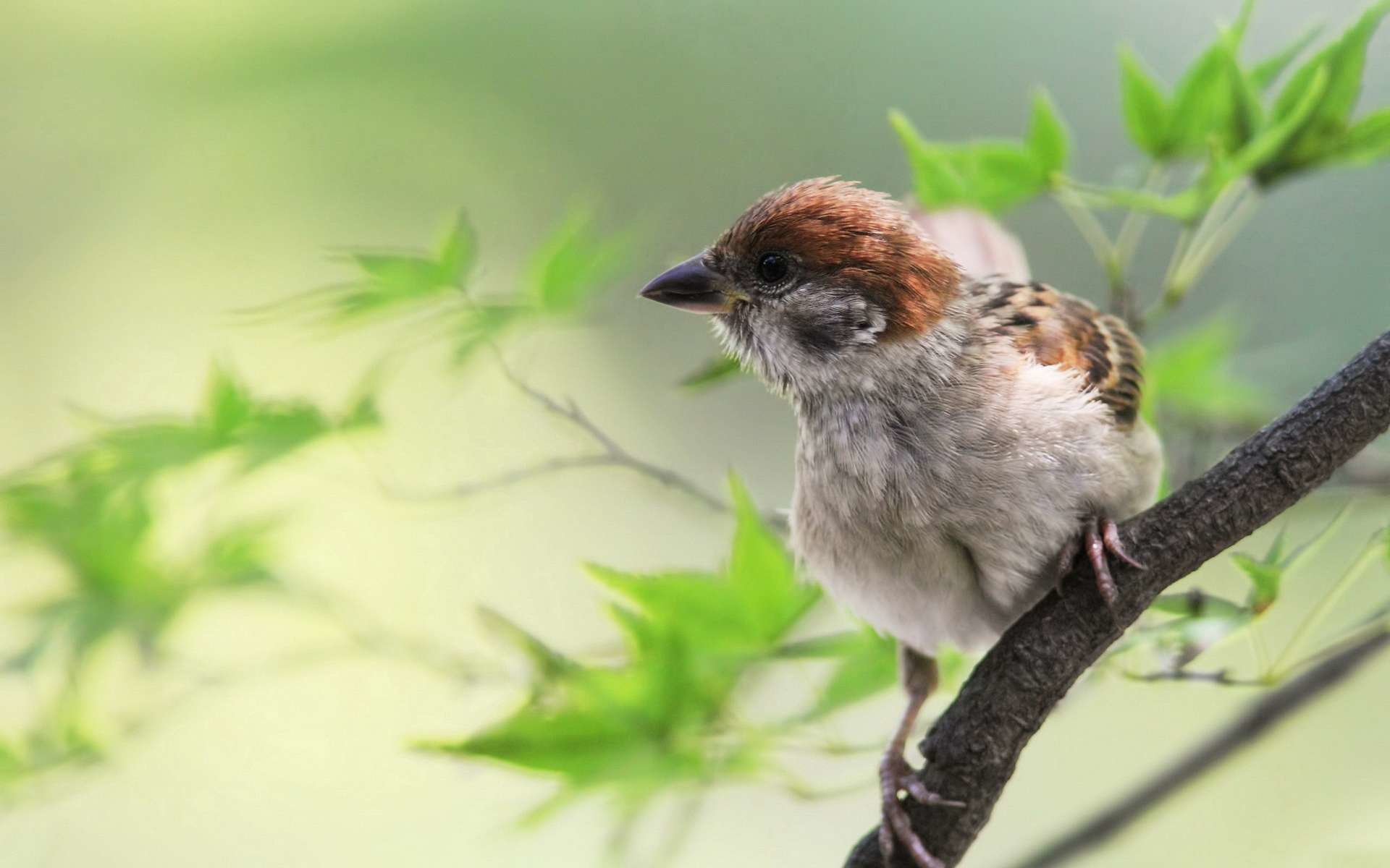 Download hd 1920x1200 Sparrow PC wallpaper ID:110722 for free