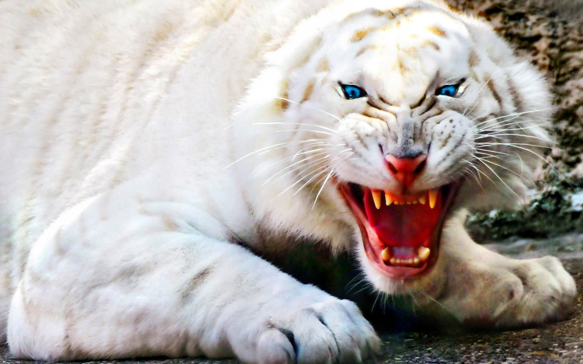 Awesome White Tiger free wallpaper ID:174840 for hd 1920x1200 PC