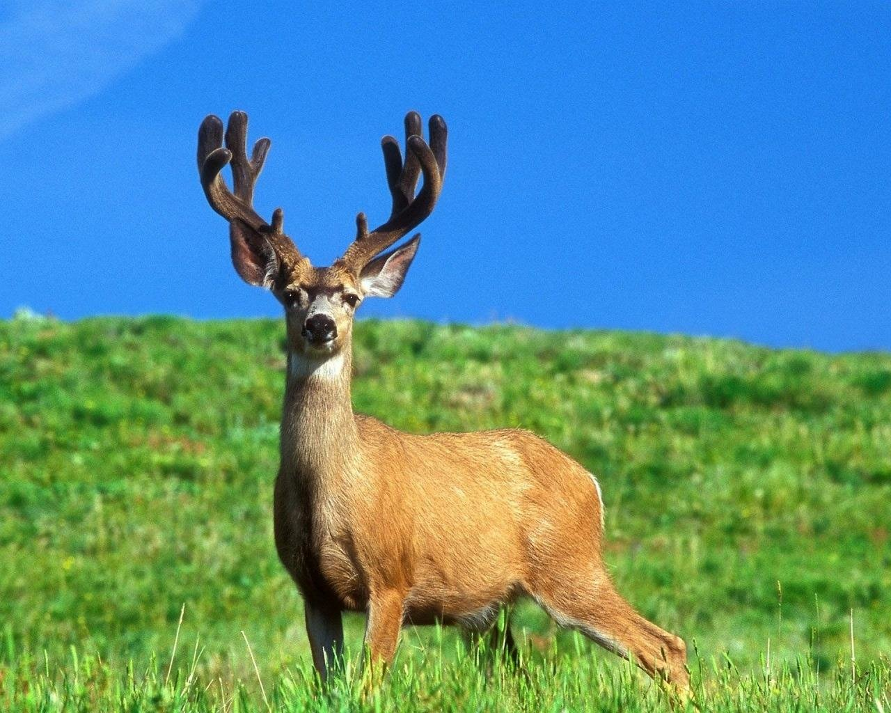 Awesome Deer free wallpaper ID:238694 for hd 1280x1024 desktop
