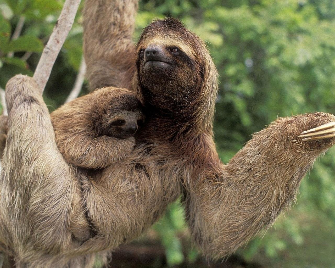 Free download Sloth wallpaper ID:68366 hd 1280x1024 for desktop