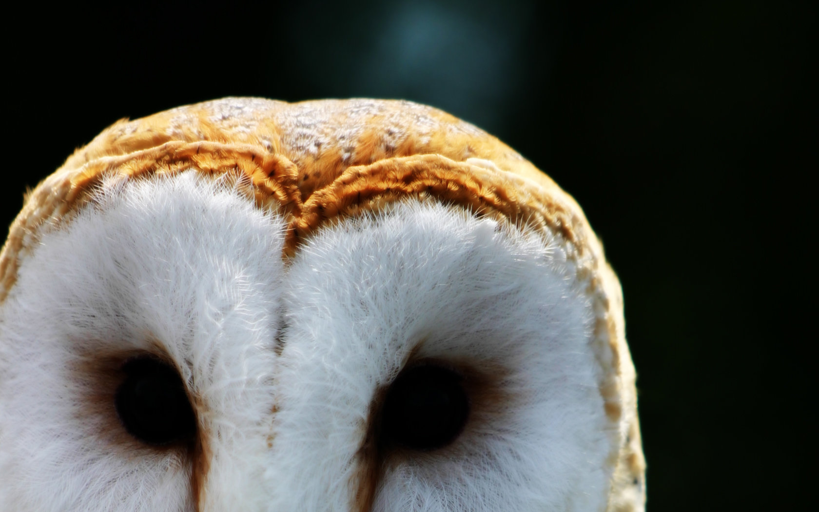 Free download Barn Owl background ID:81539 hd 1680x1050 for PC