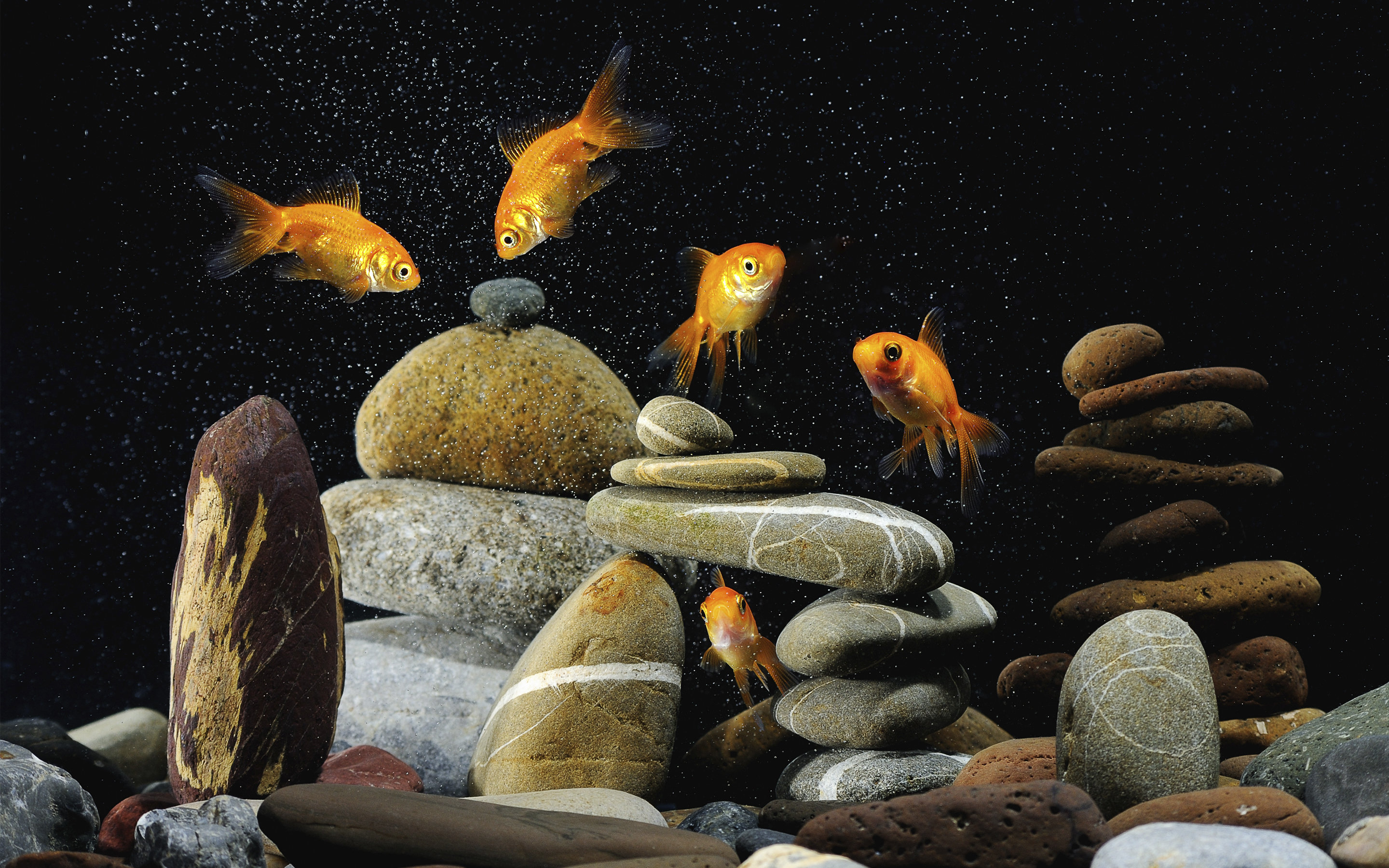 Free Goldfish high quality background ID:464092 for hd 2880x1800 computer