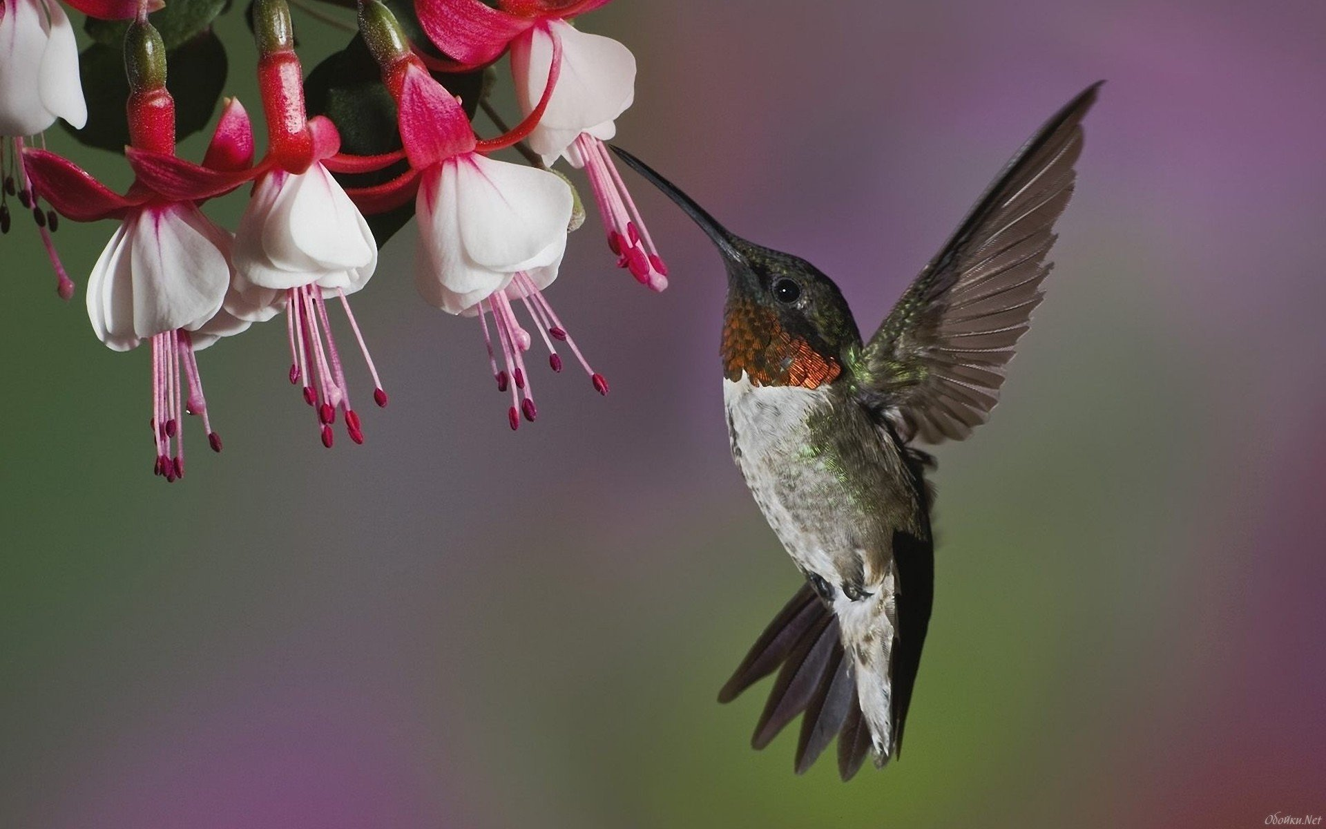 Awesome Hummingbird free wallpaper ID:215654 for hd 1920x1200 desktop