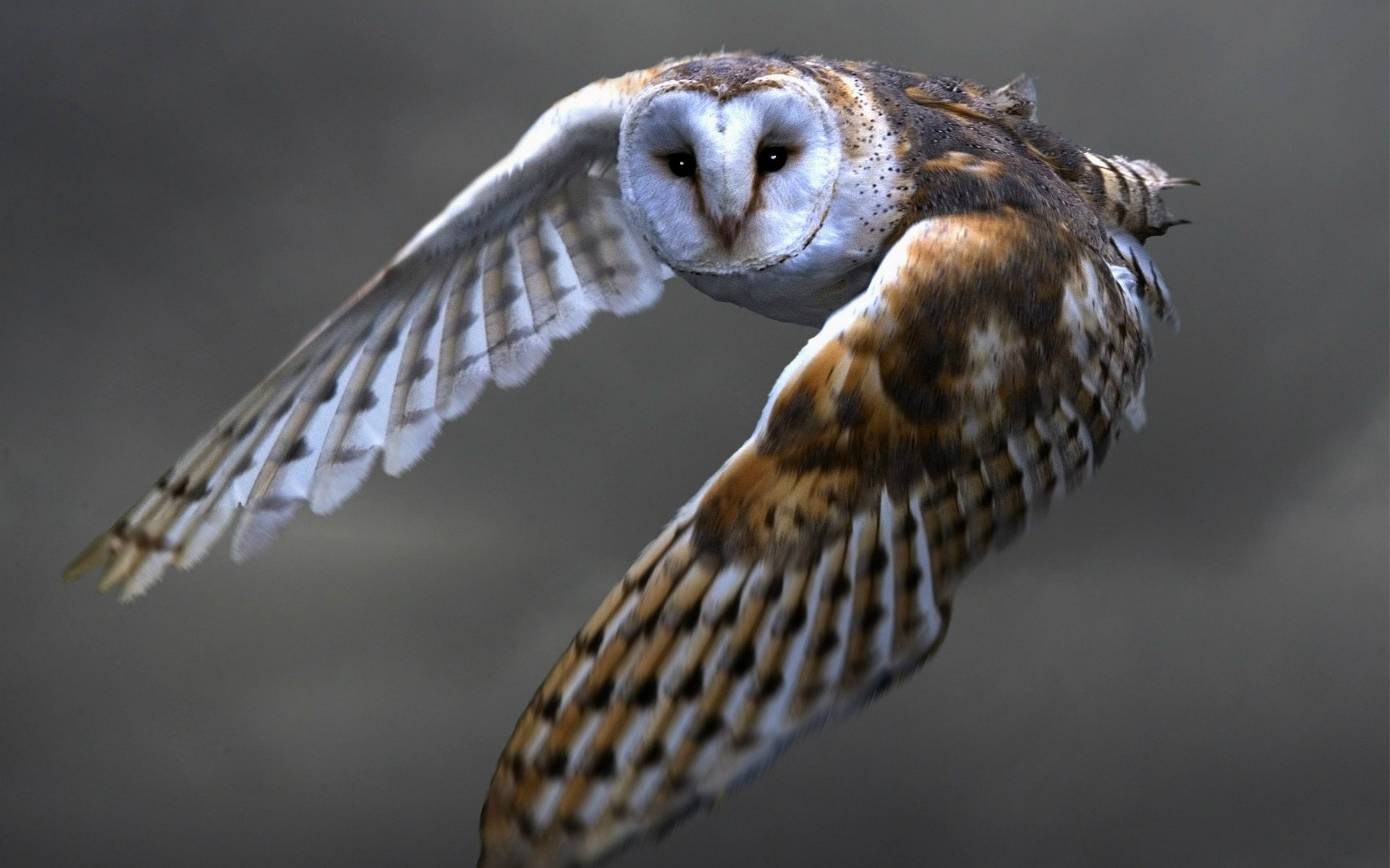 Best Barn Owl wallpaper ID:81540 for High Resolution hd 3840x2400 computer