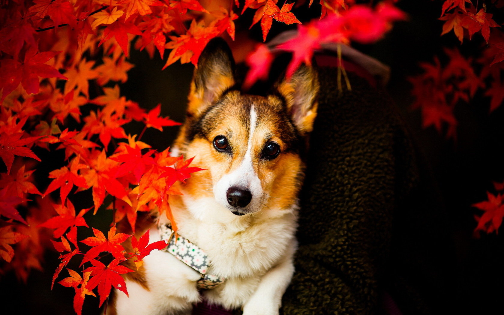 Awesome Corgi free background ID:47783 for hd 1680x1050 PC