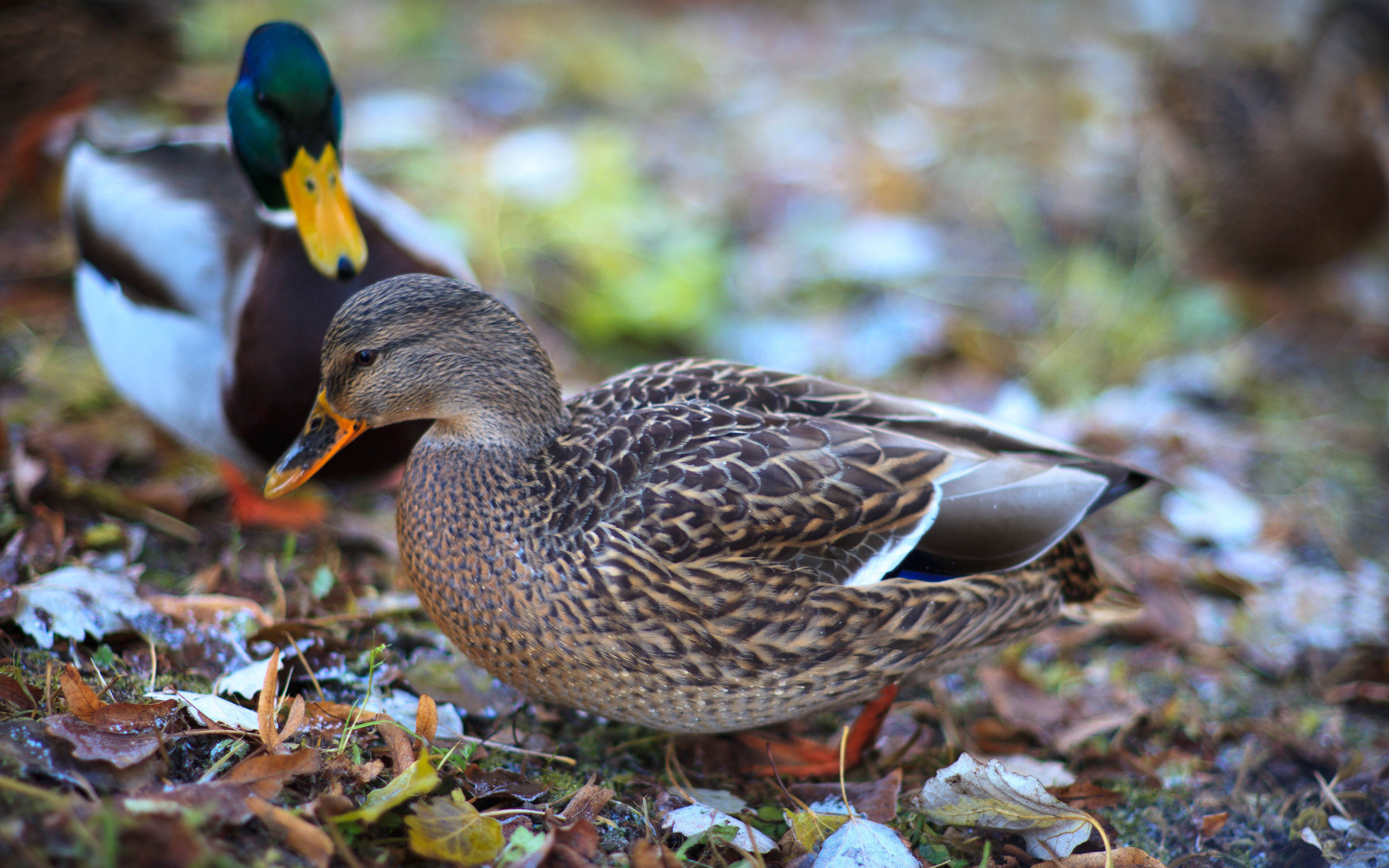 Free Mallard high quality wallpaper ID:358218 for hd 2560x1600 computer