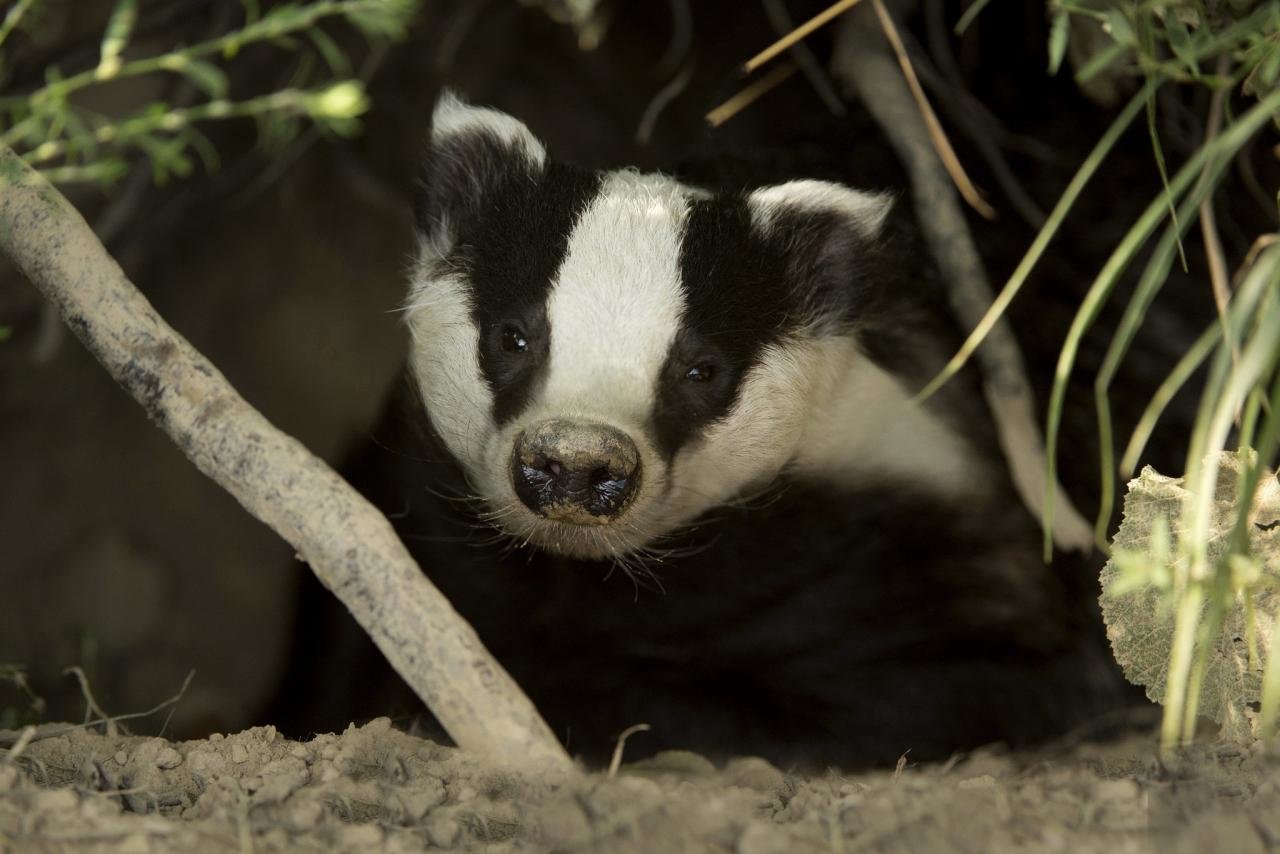 Best Badger background ID:142315 for High Resolution hd 1280x854 PC