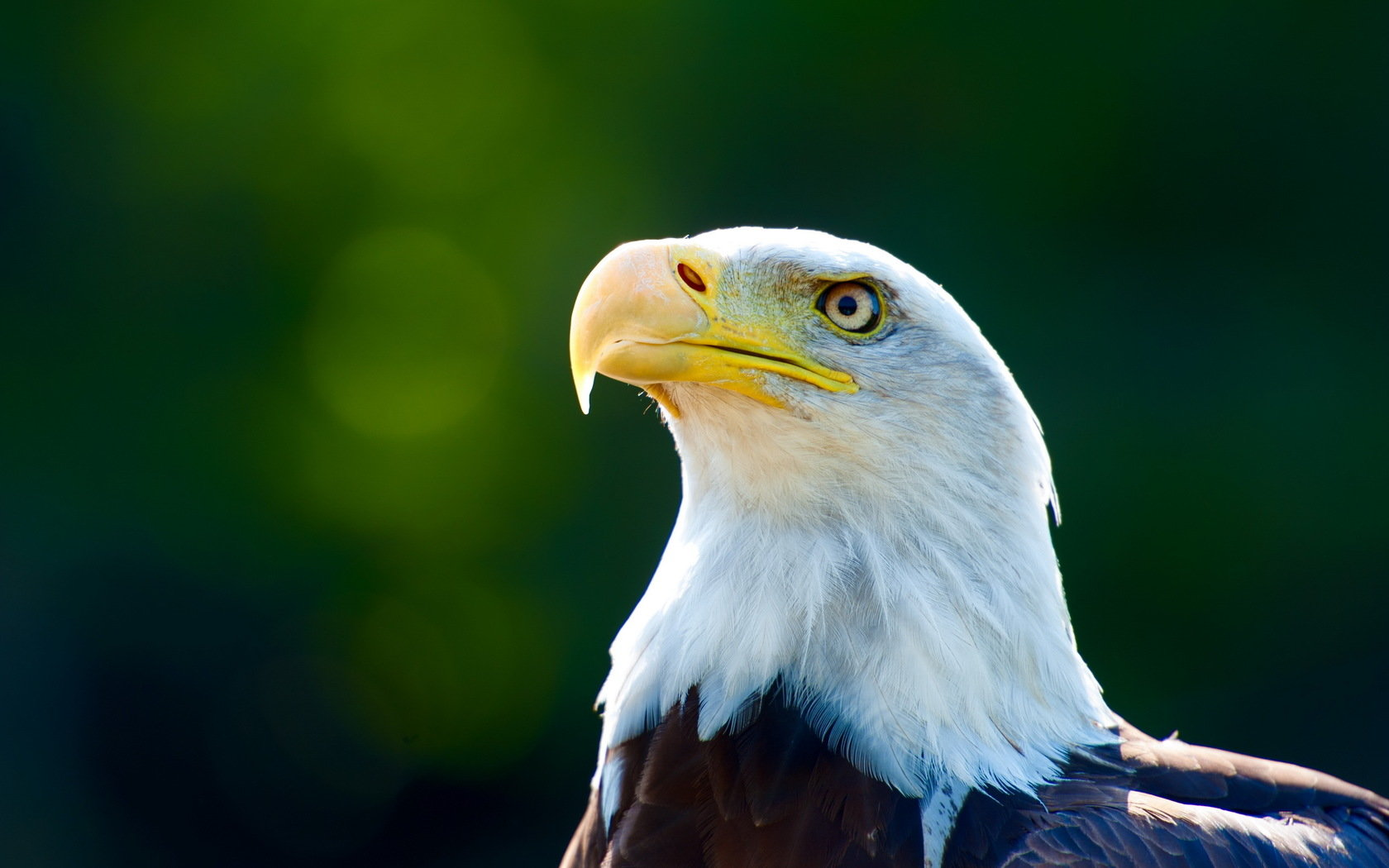High resolution Eagle hd 1680x1050 background ID:231175 for desktop