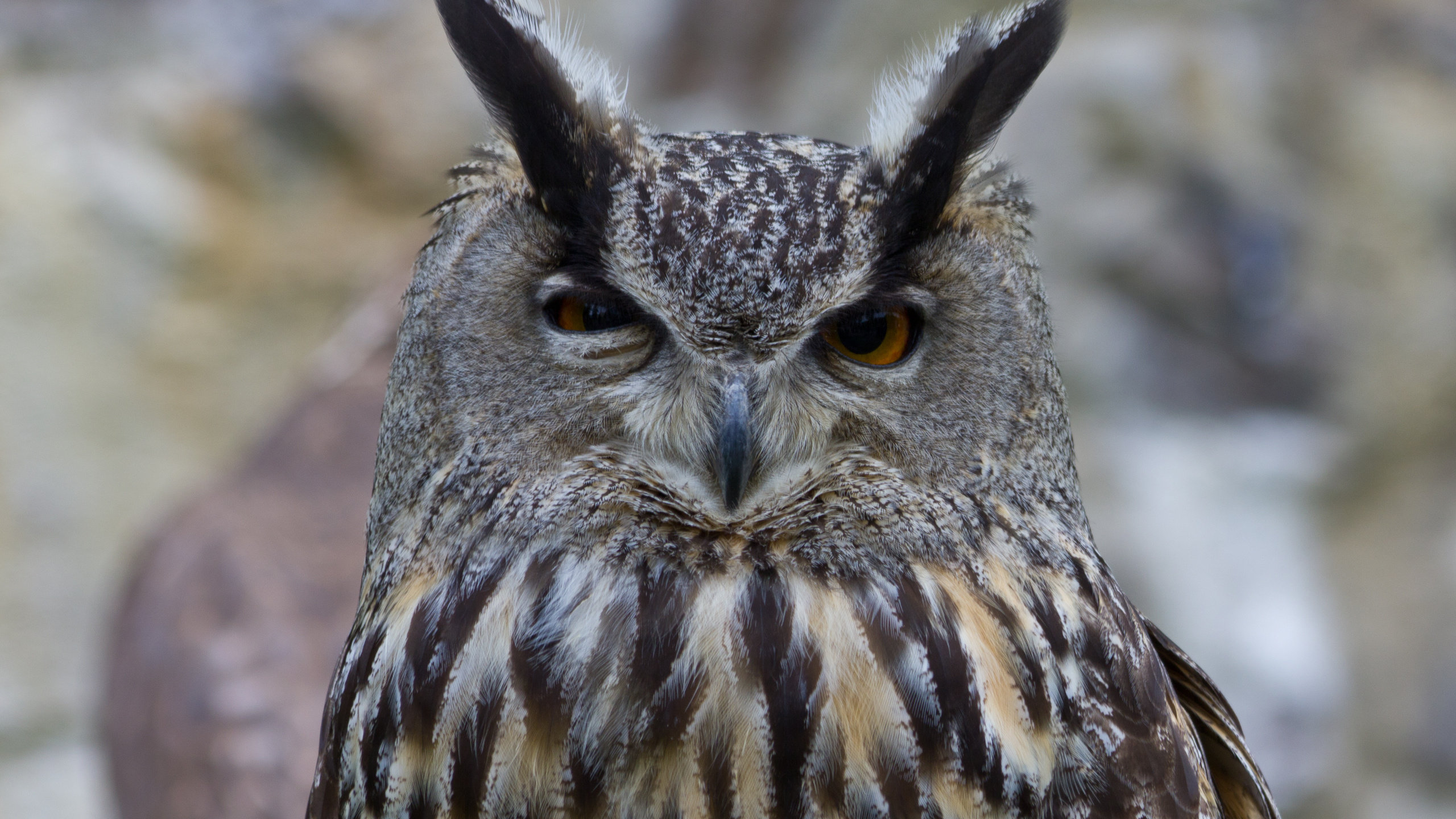 Free Great Horned Owl high quality background ID:297770 for hd 2560x1440 PC