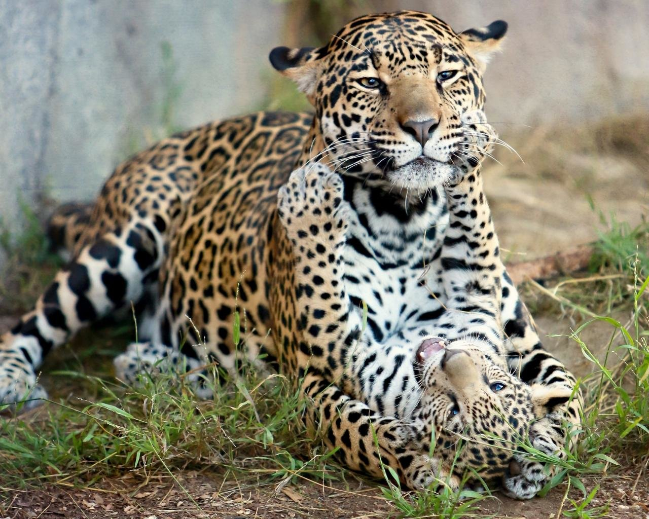 Awesome Leopard free wallpaper ID:448077 for hd 1280x1024 desktop
