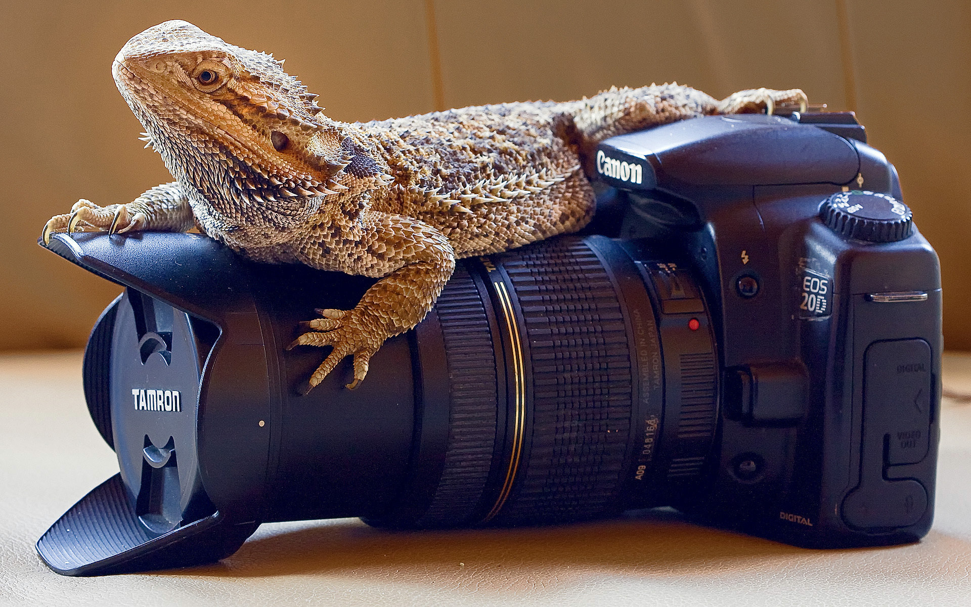 High resolution Bearded Dragon hd 1920x1200 background ID:396840 for PC