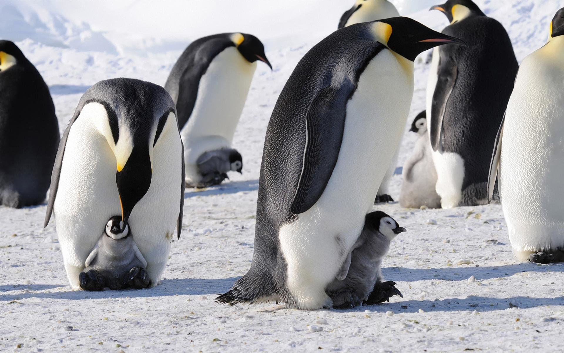 Best Emperor Penguin background ID:47917 for High Resolution hd 1920x1200 computer