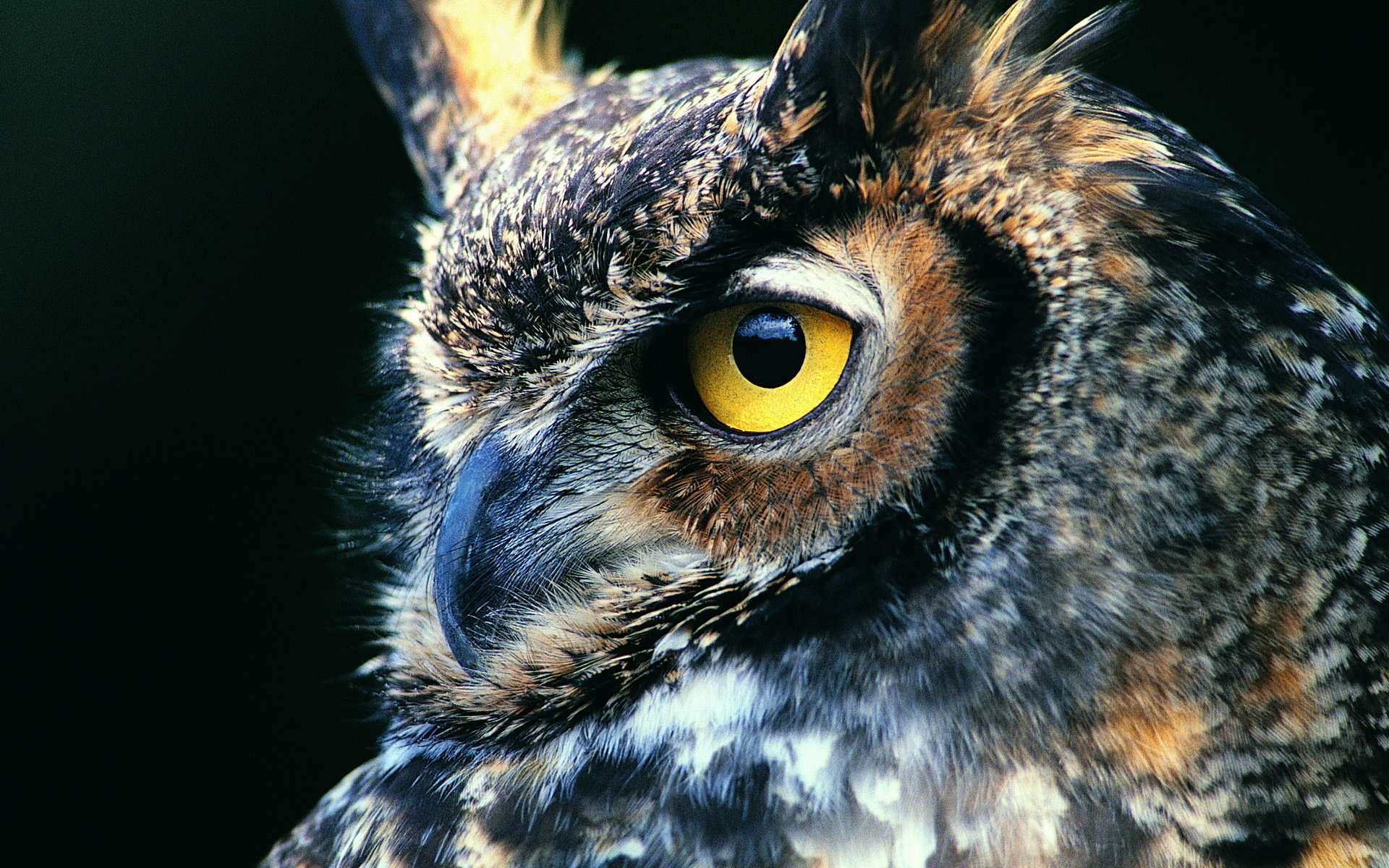Download hd 1920x1200 Great Horned Owl computer background ID:297769 for free