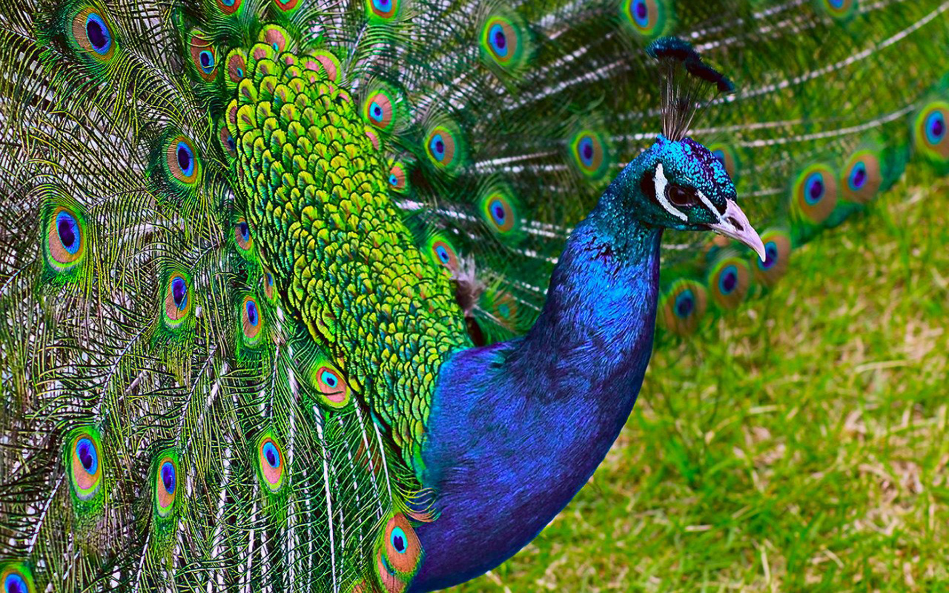 Free Peacock high quality wallpaper ID:151743 for hd 1920x1200 desktop