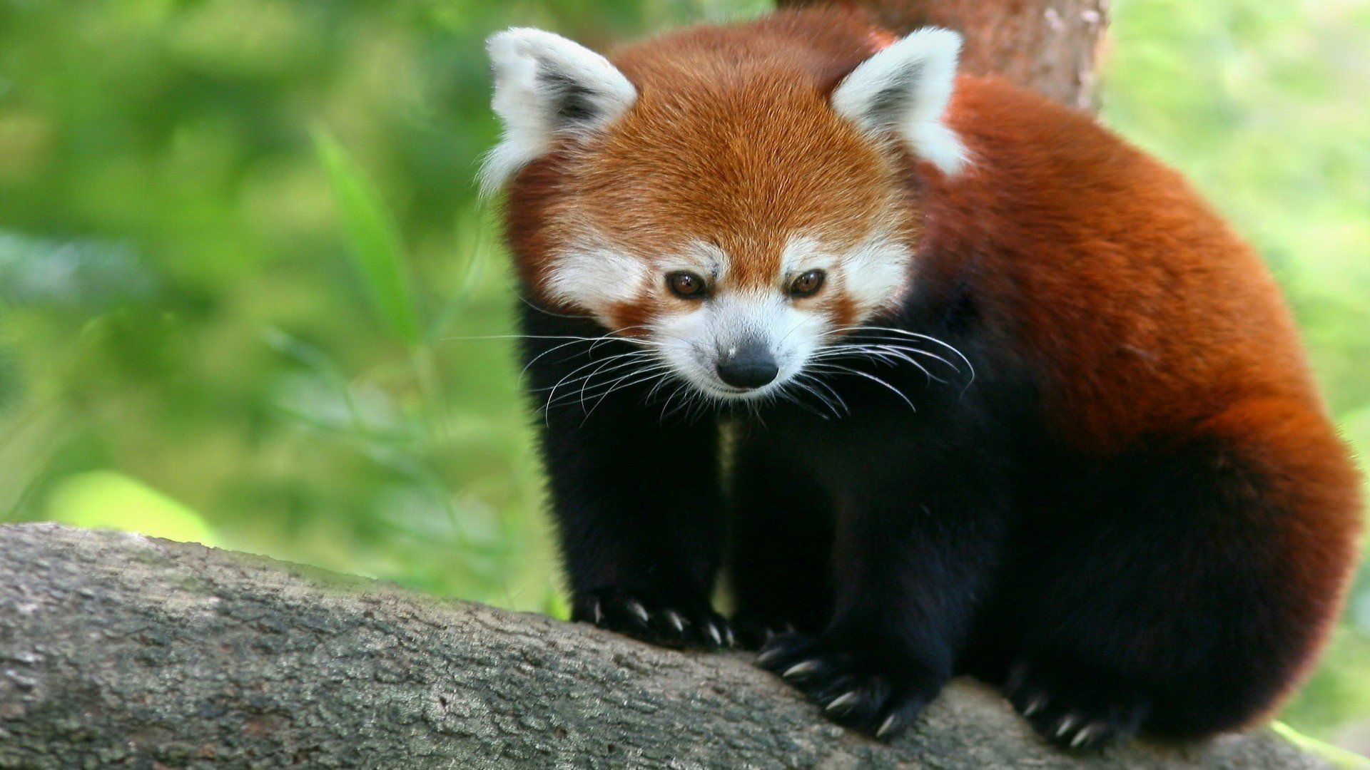 Best Red Panda background ID:64024 for High Resolution full hd 1920x1080 desktop