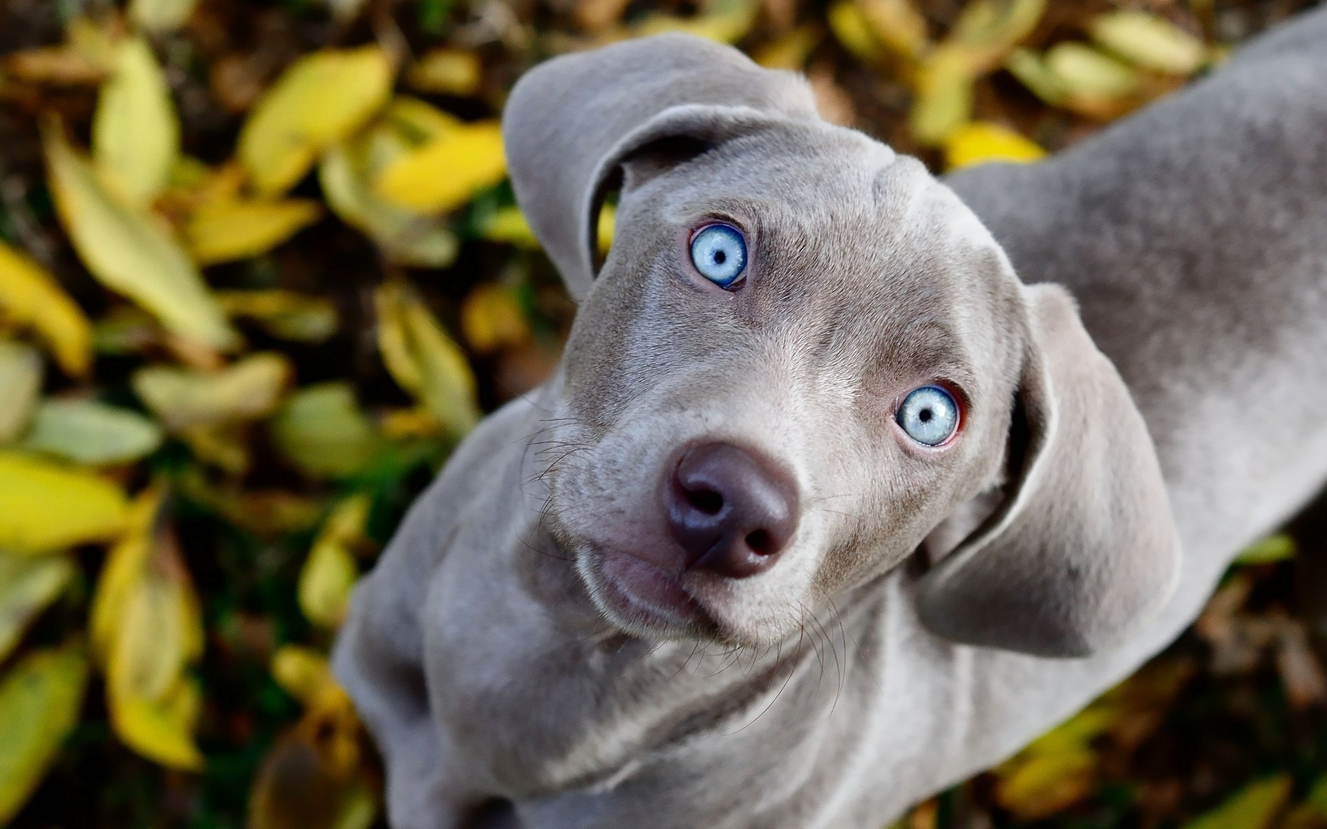 Best Weimaraner wallpaper ID:9646 for High Resolution hd 1920x1200 computer