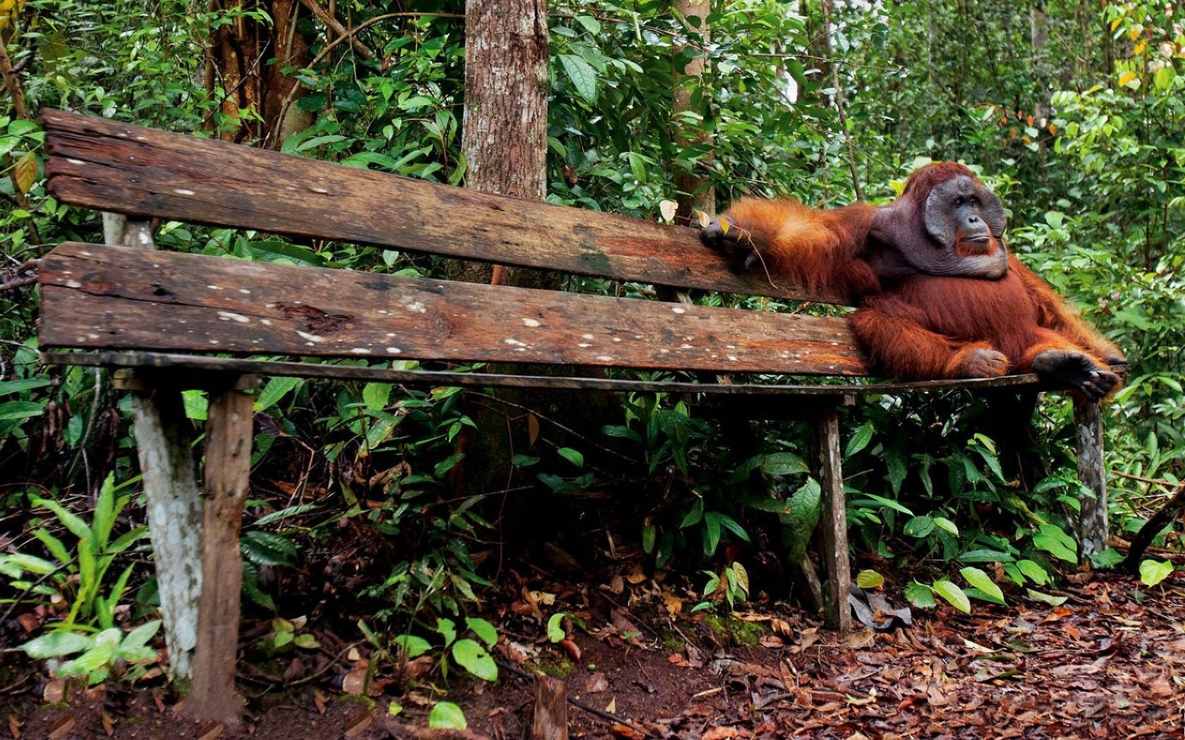 High resolution Orangutan hd 1680x1050 wallpaper ID:70020 for desktop