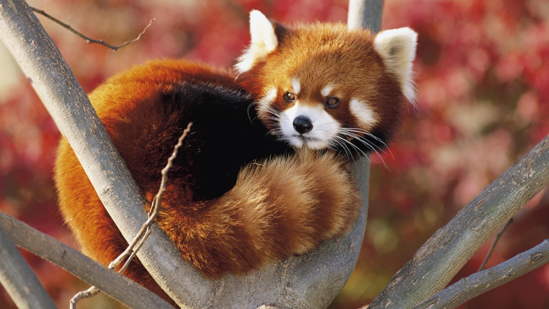 Awesome Red Panda free background ID:63988 for 1080p computer