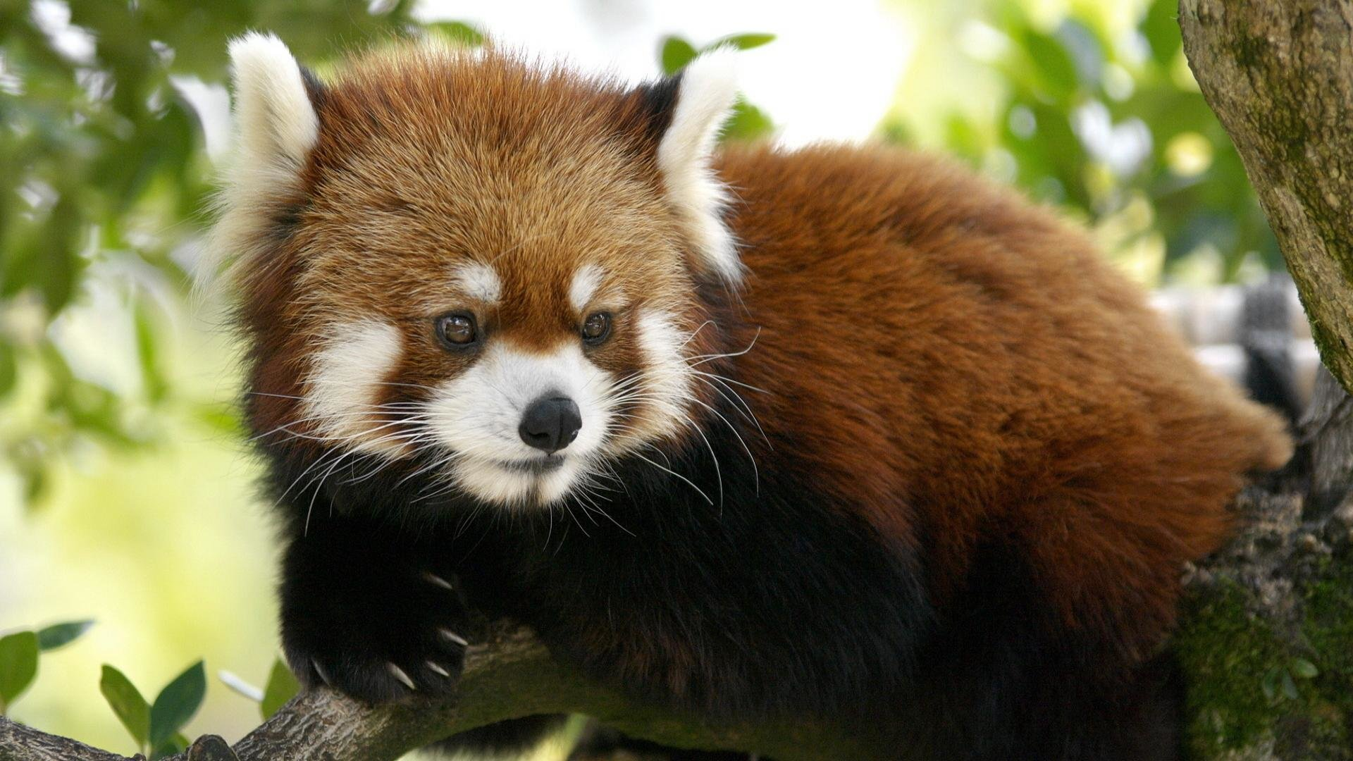 Free Red Panda high quality background ID:64001 for hd 1920x1080 desktop