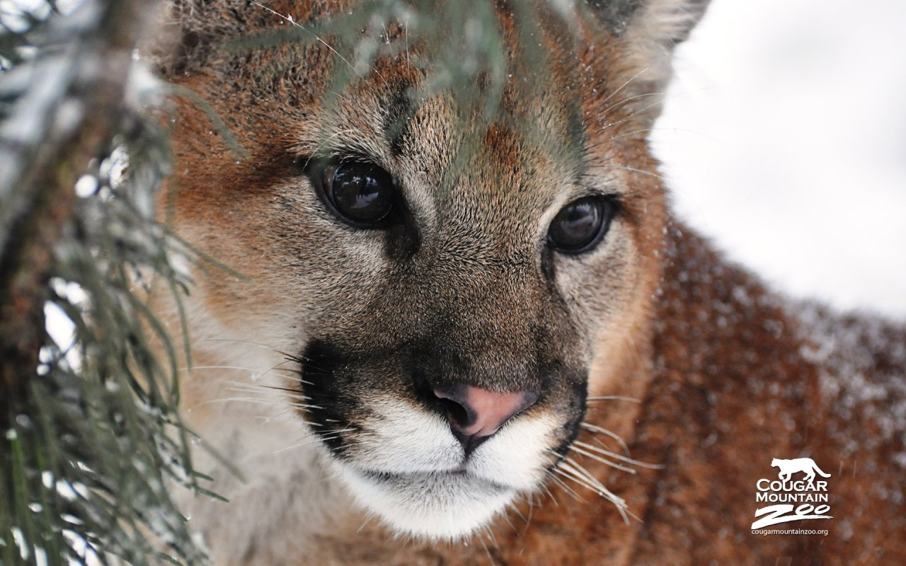 Best Cougar wallpaper ID:81798 for High Resolution hd 1280x800 computer