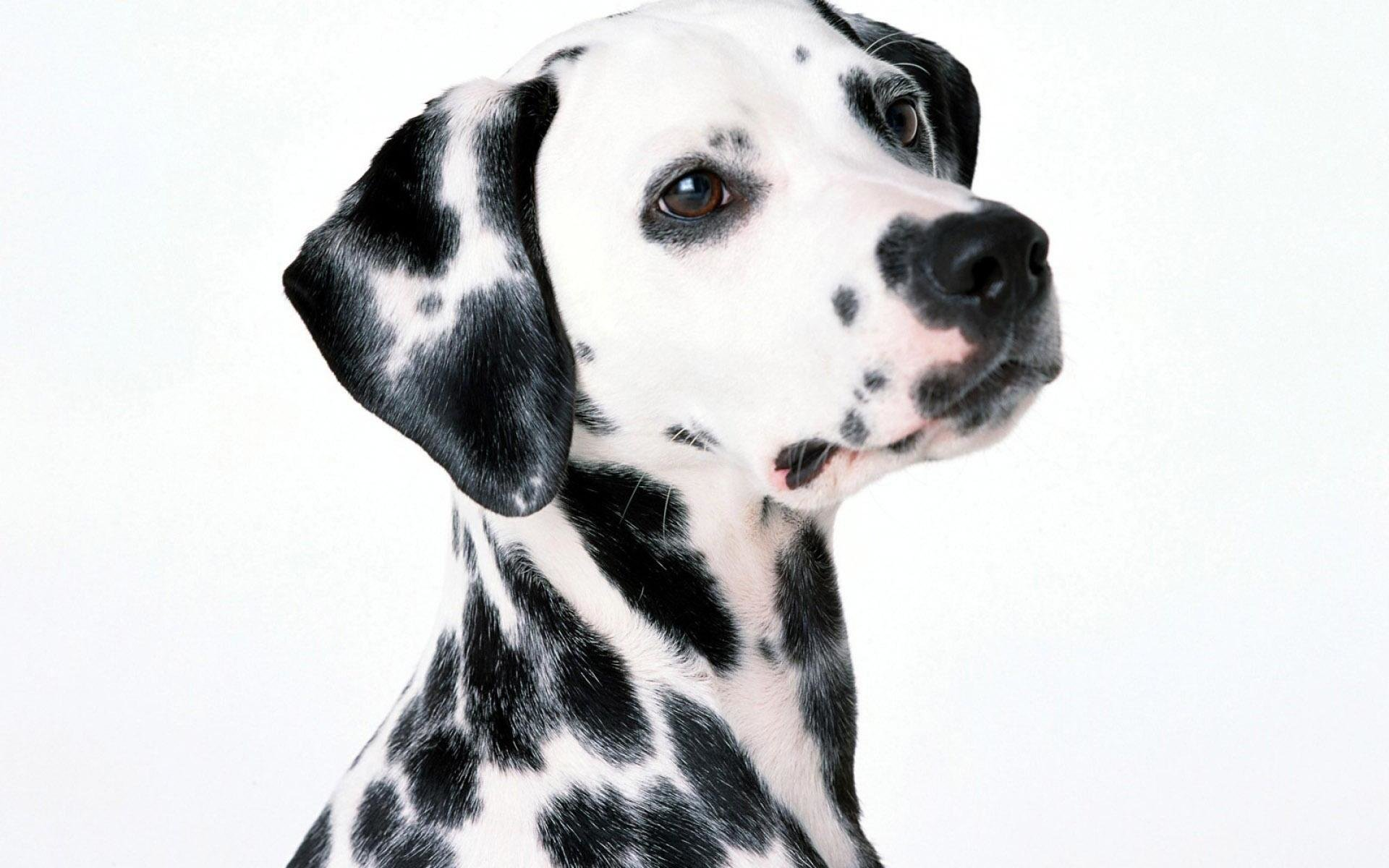 Free download Dalmatian background ID:433524 hd 1920x1200 for desktop