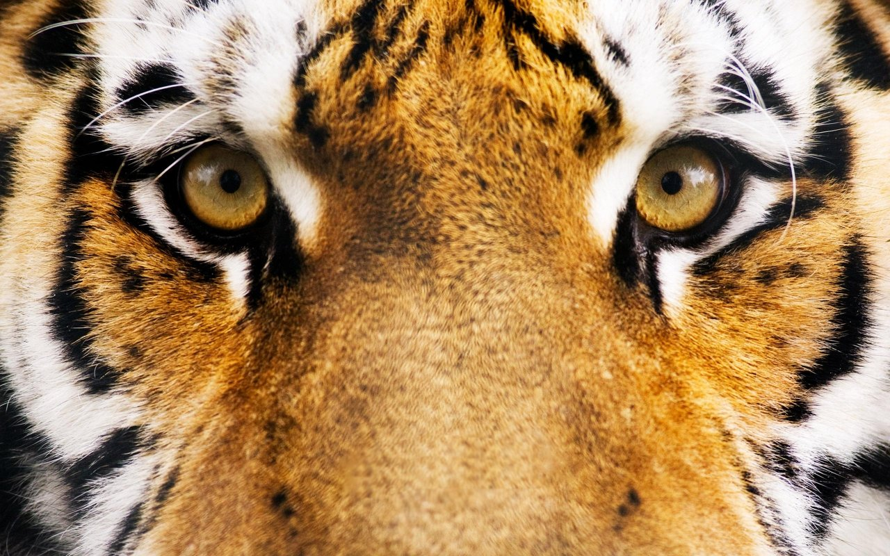High resolution Tiger hd 1280x800 wallpaper ID:115913 for desktop