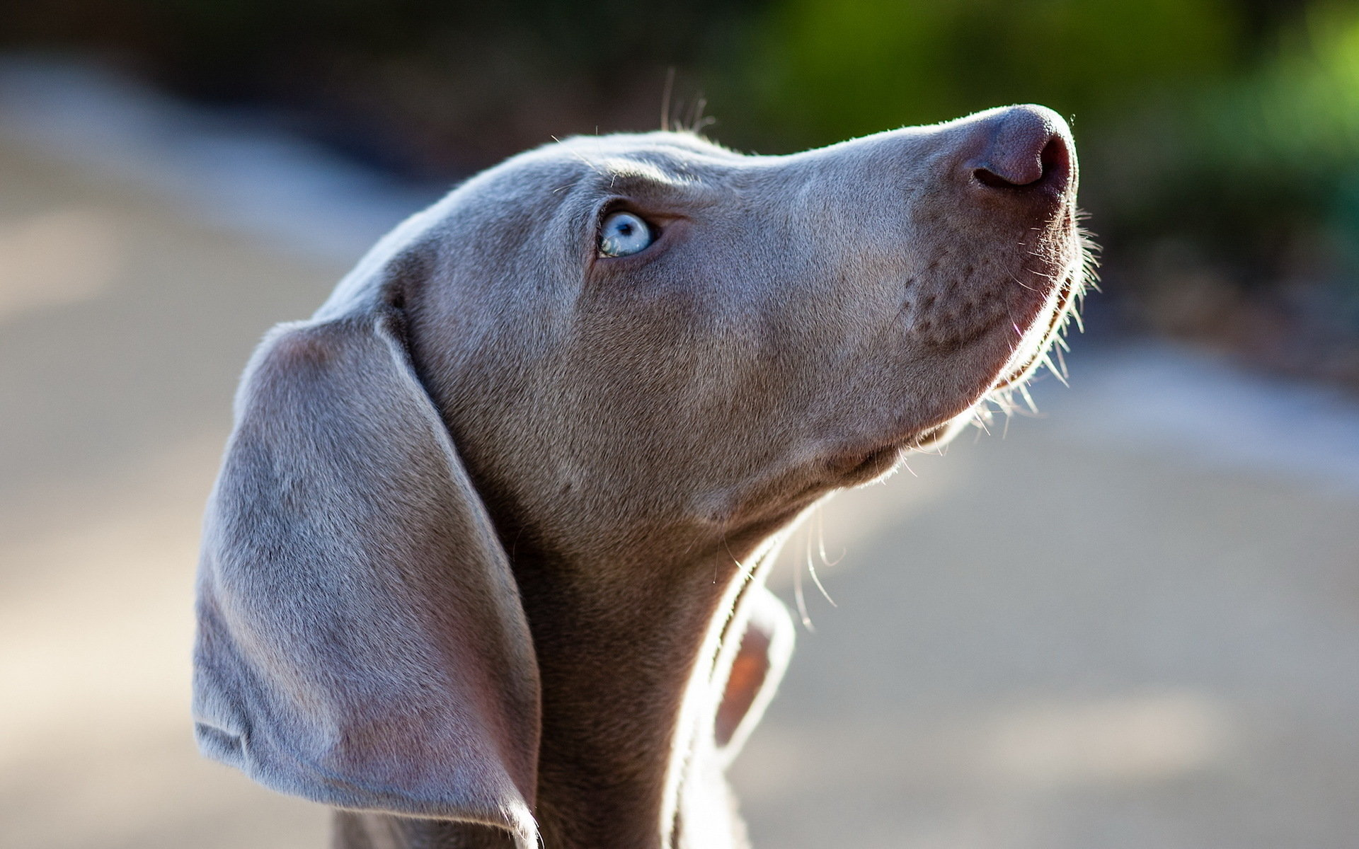 Free download Weimaraner wallpaper ID:9641 hd 1920x1200 for computer