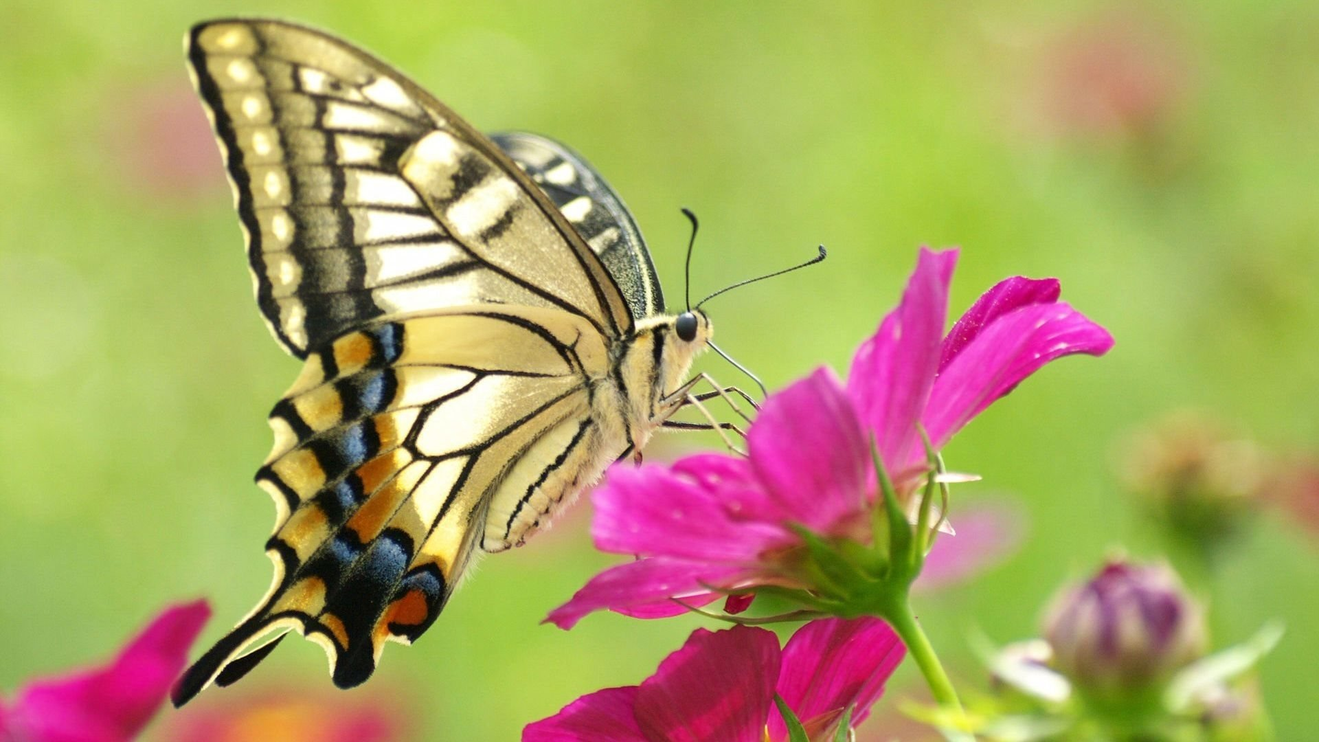 Free Butterfly high quality background ID:167684 for hd 1920x1080 PC