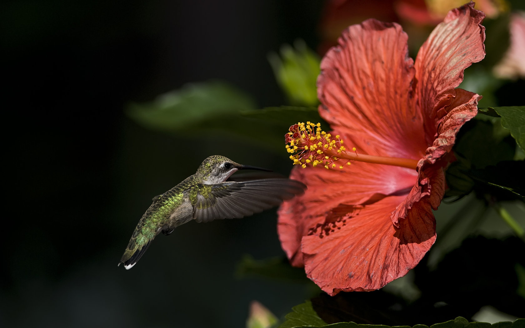 Download hd 1680x1050 Hummingbird computer wallpaper ID:215685 for free