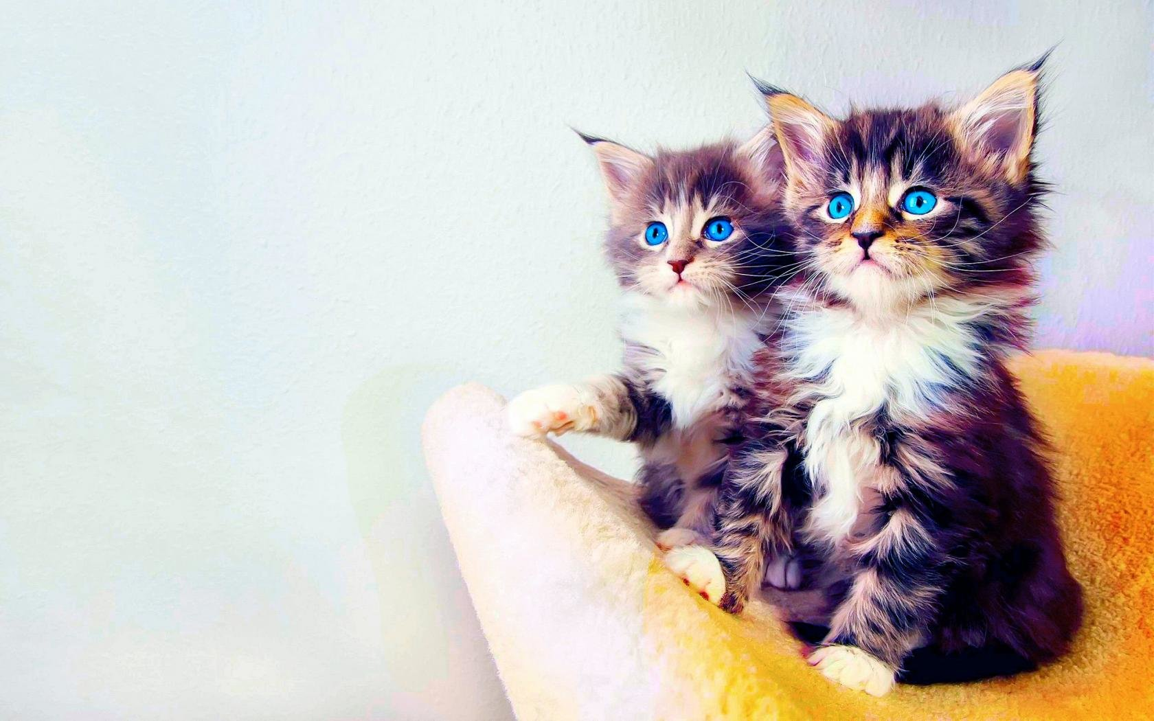 Free download Kitten background ID:429830 hd 1680x1050 for PC