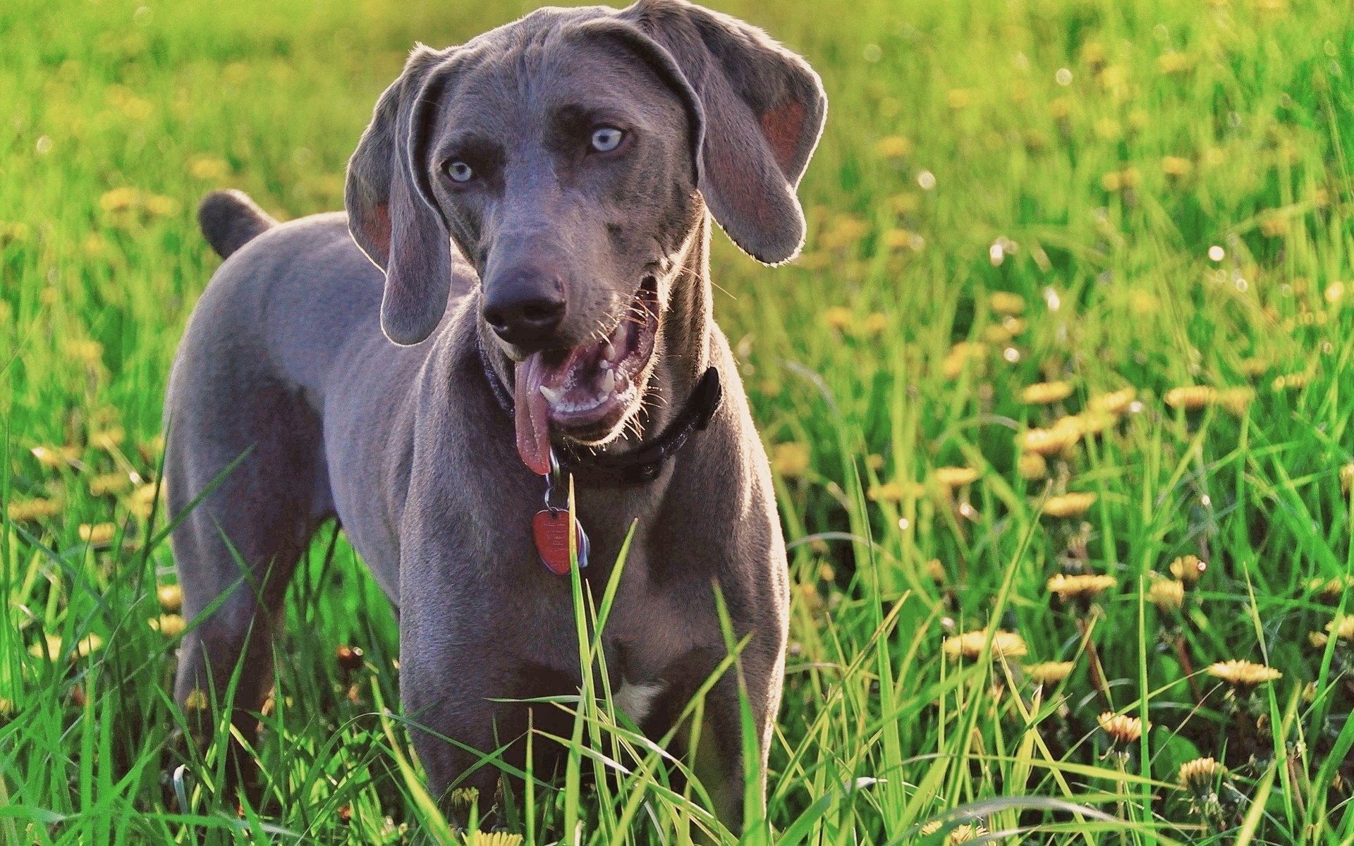 Best Weimaraner background ID:9635 for High Resolution hd 1920x1200 computer