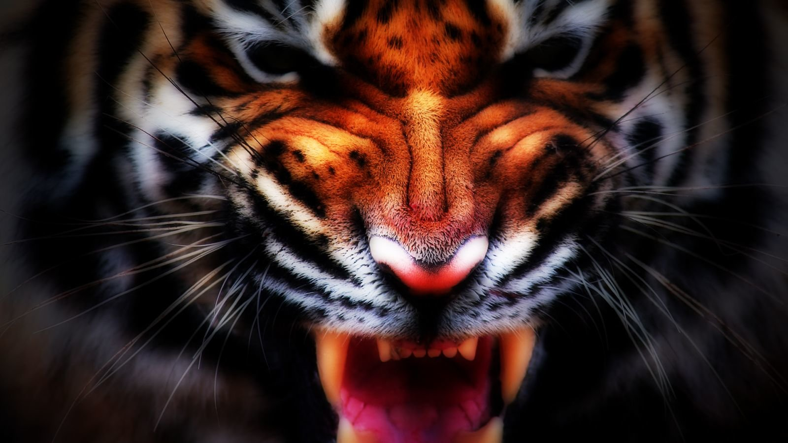 Download hd 1600x900 Tiger desktop background ID:115912 for free