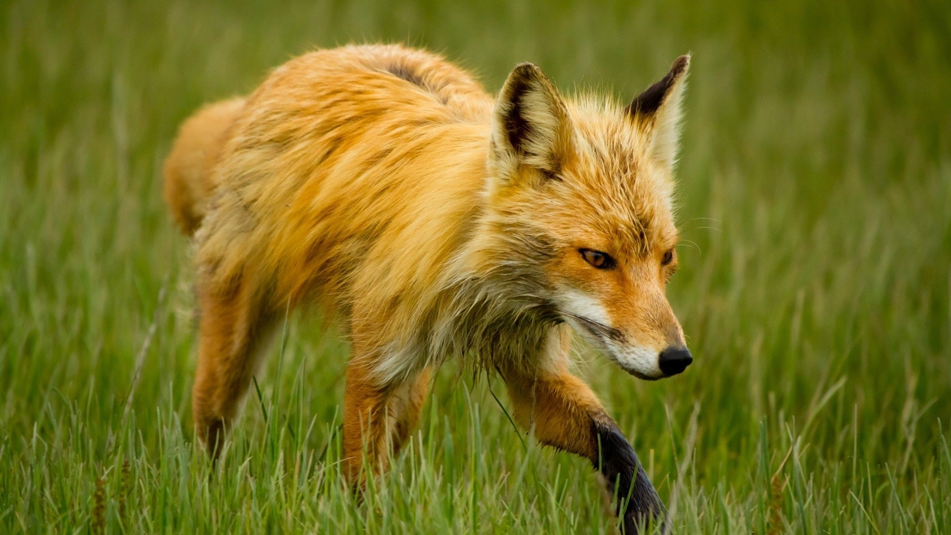 Awesome Fox free wallpaper ID:58748 for hd 1080p desktop