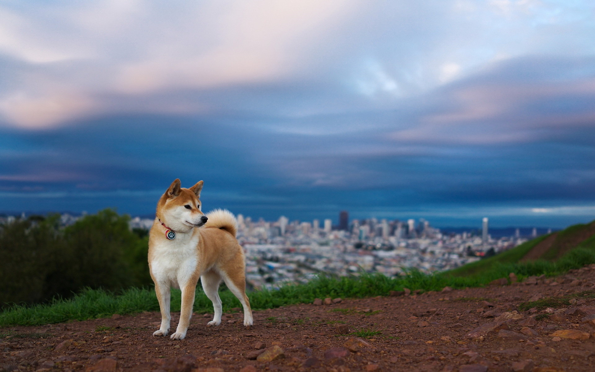 Free download Shiba Inu background ID:125922 hd 1920x1200 for desktop
