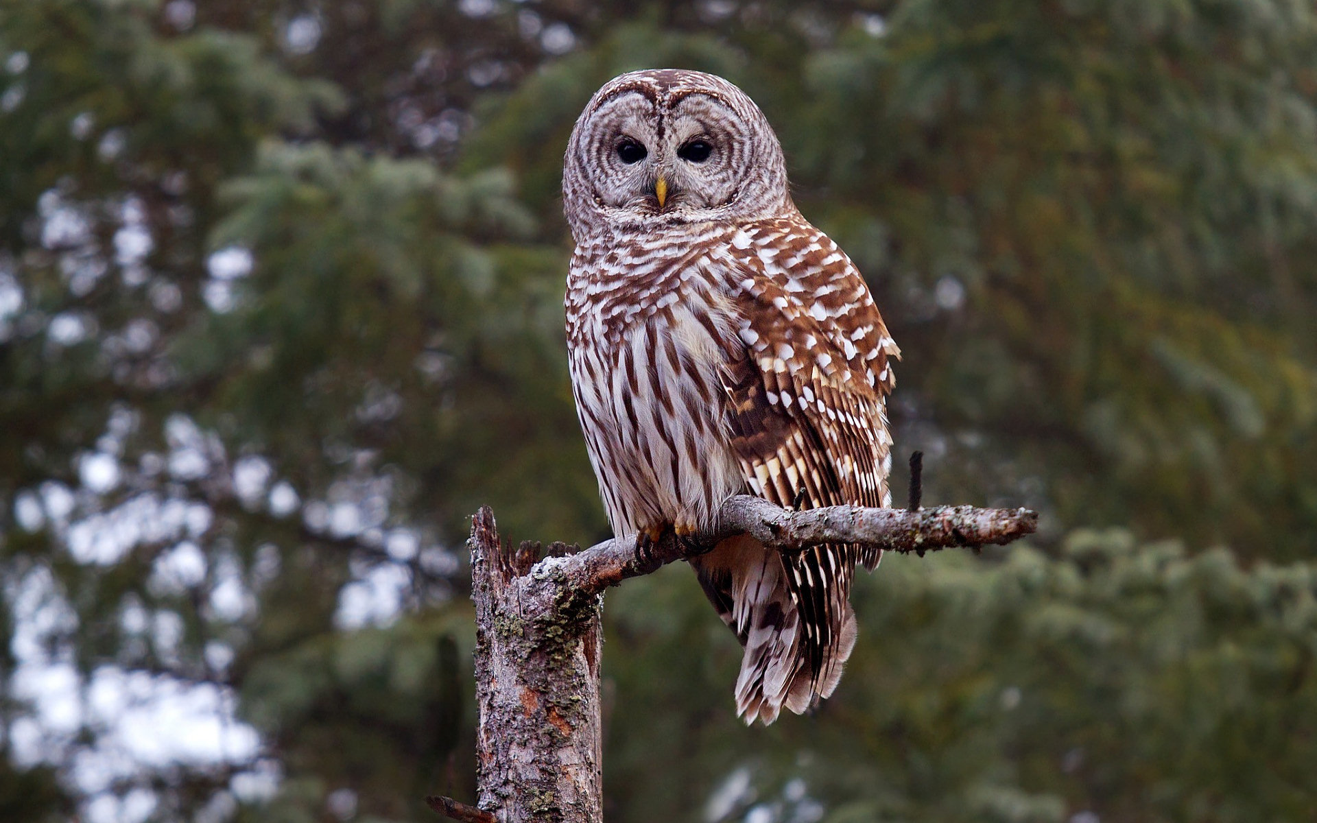 Free Barred Owl high quality background ID:91340 for hd 1920x1200 PC