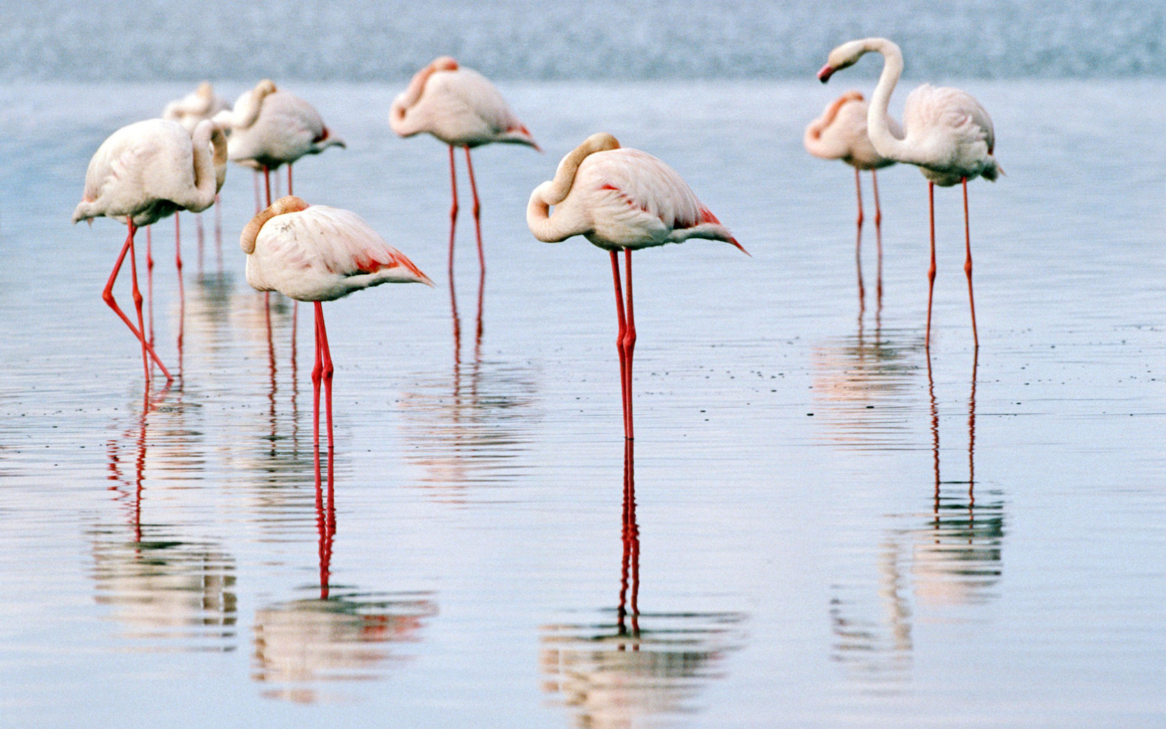Free Flamingo high quality background ID:66653 for hd 1680x1050 PC