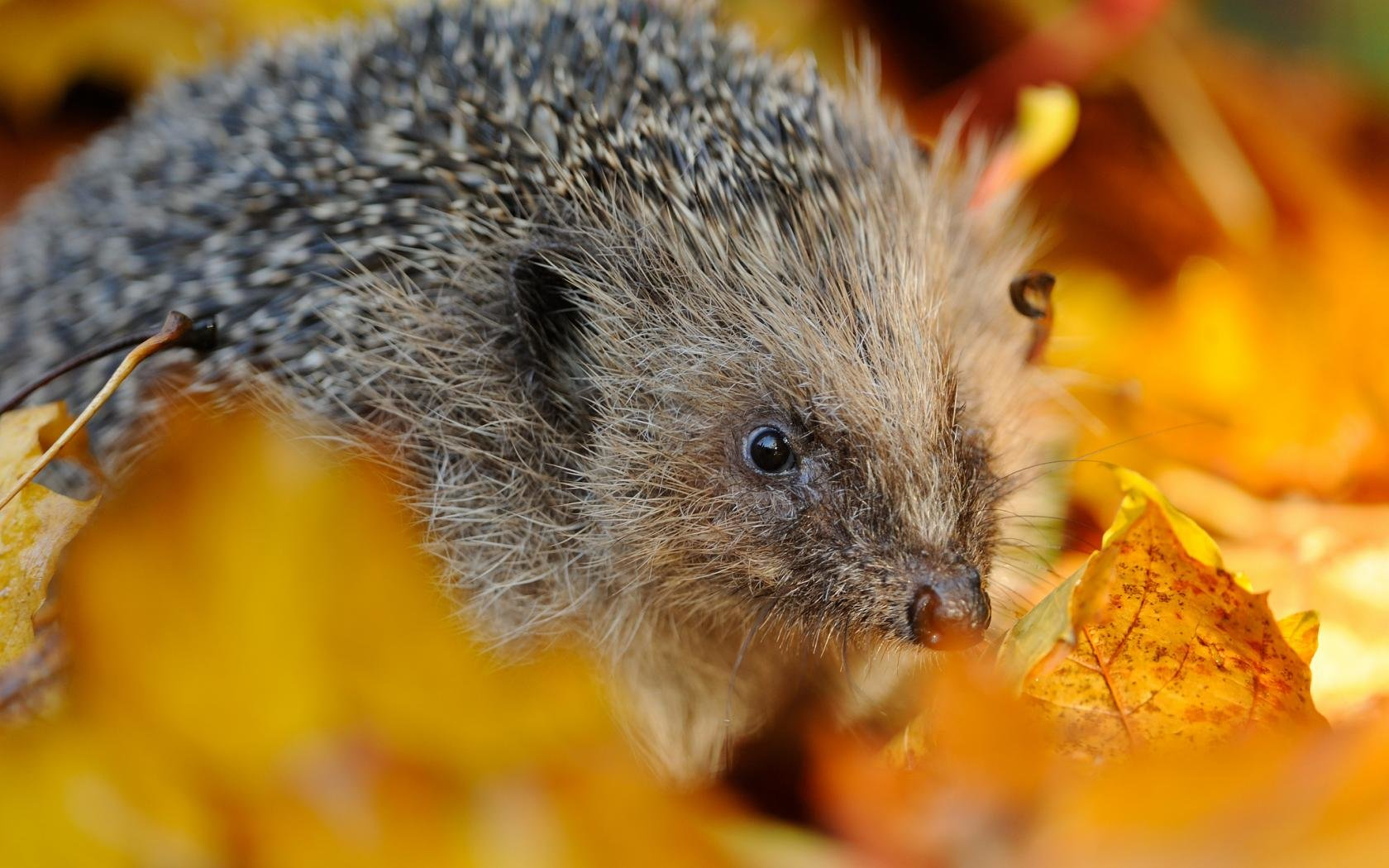 Best Hedgehog wallpaper ID:241830 for High Resolution hd 1680x1050 PC