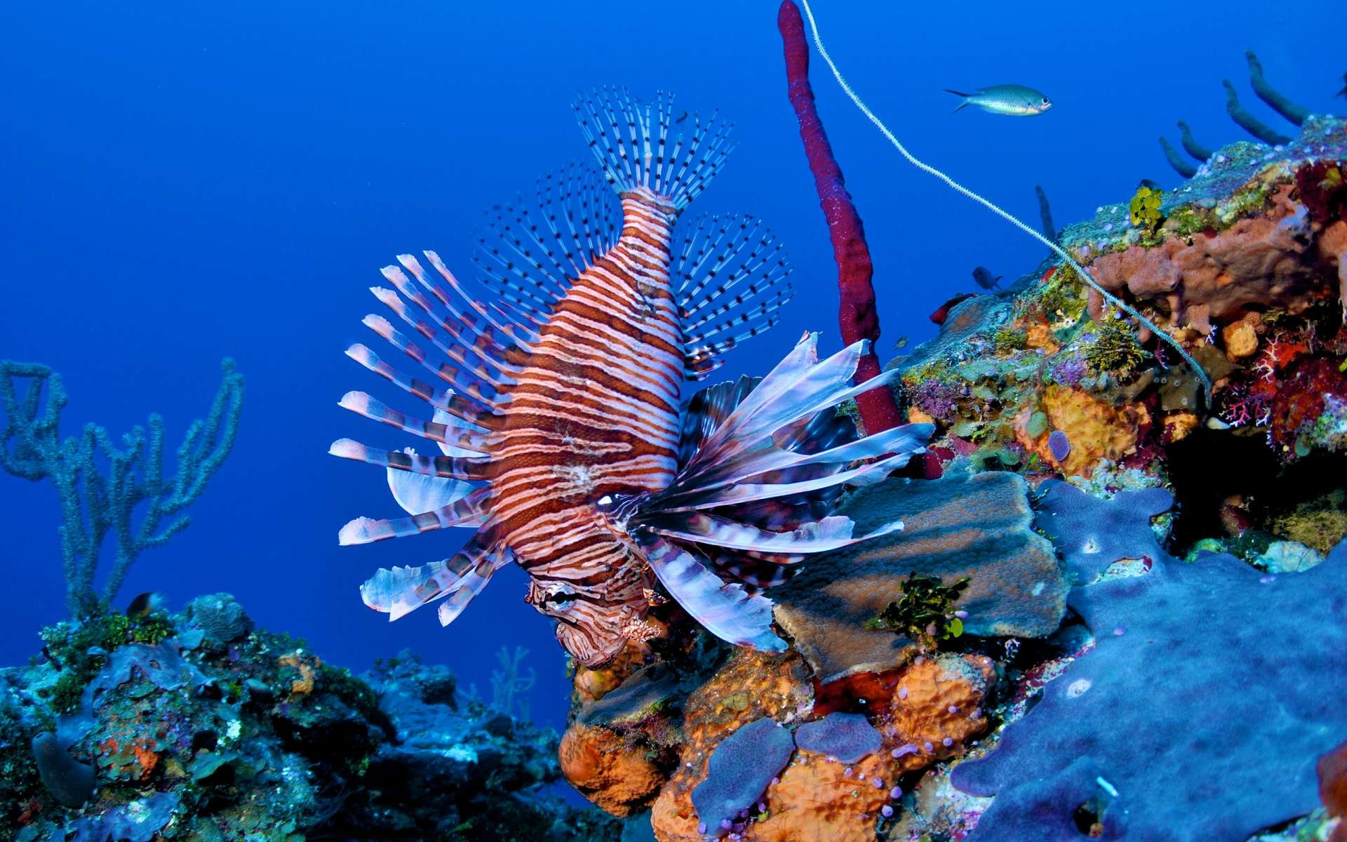 Free Lionfish high quality background ID:438219 for hd 1920x1200 computer